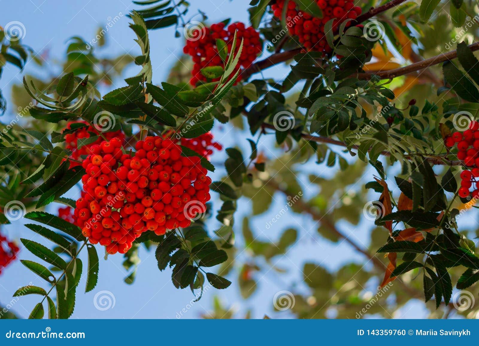 Rode rijpe bos van lijsterbes met groene lijsterbessenbladeren in de herfst tegen blauwe hemel herfst kleurrijke rode lijsterbess