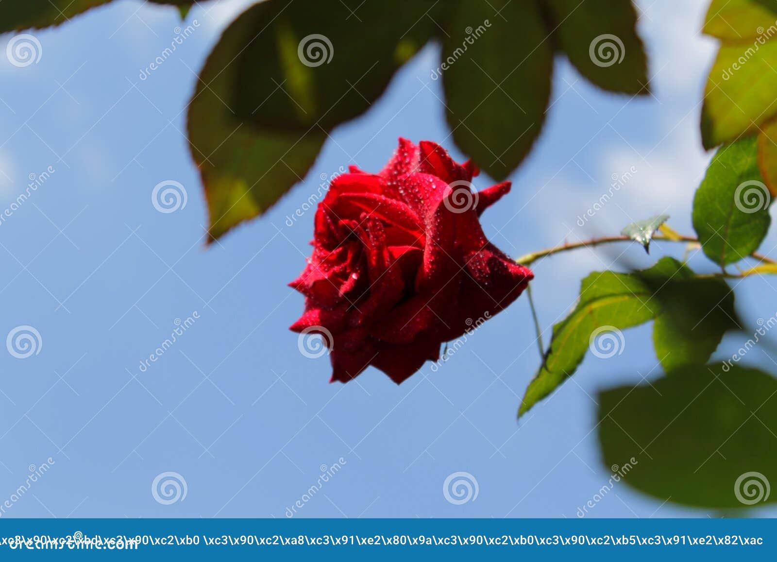 Rode rozen in de zon De tederheid van rozen blur Boom op gebied
