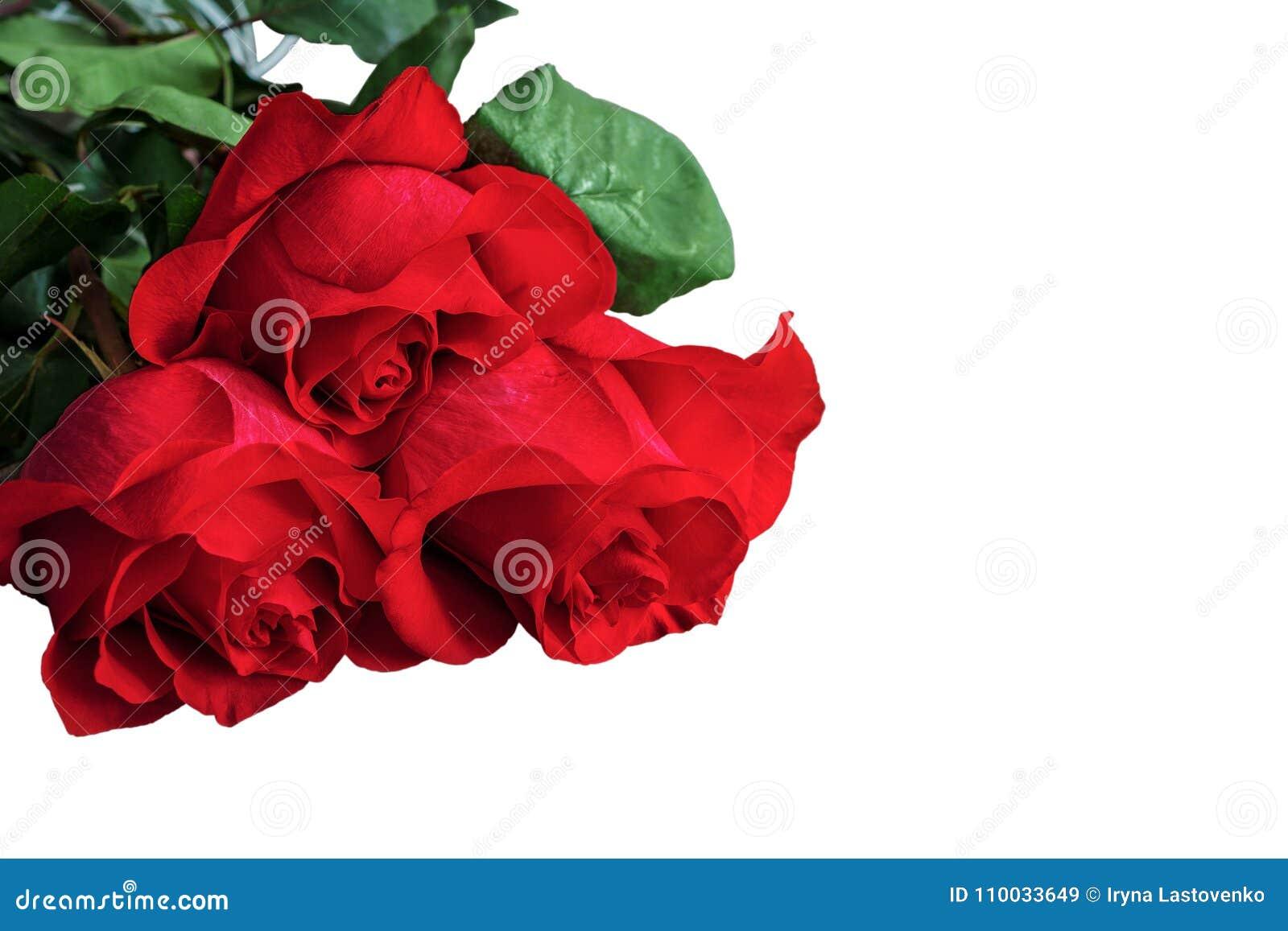 Rode of scharlaken rozen met groene bladeren Geïsoleerde, witte backgrou