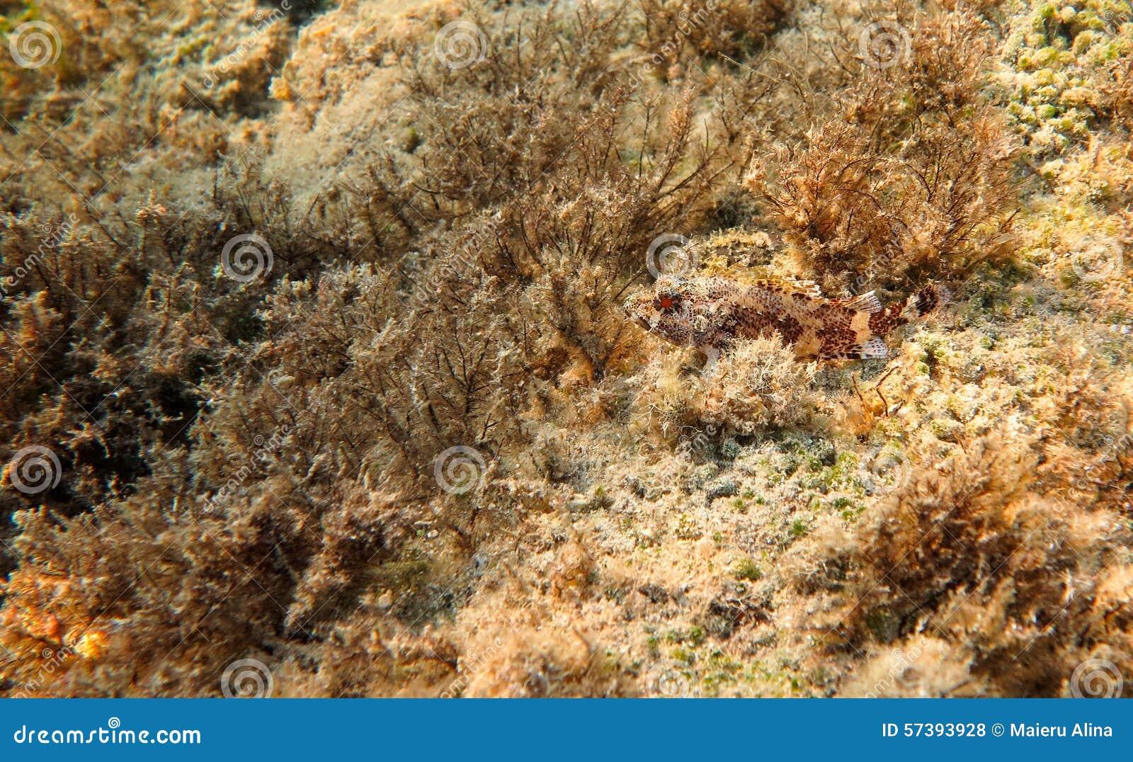Rode Scorpionfish, Middellandse Zee