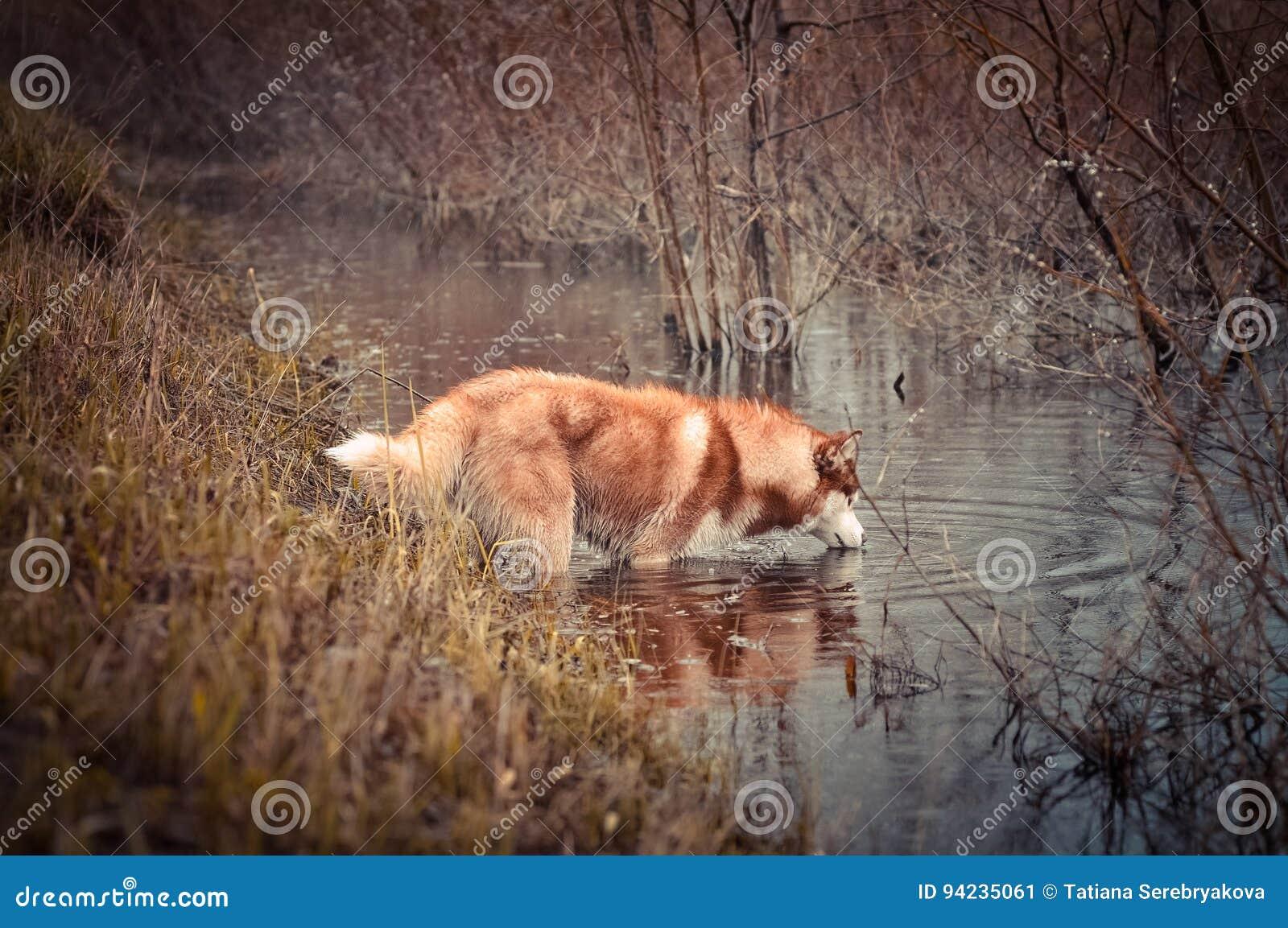 Rode Siberische schor honddranken van de beek in de lenteweide