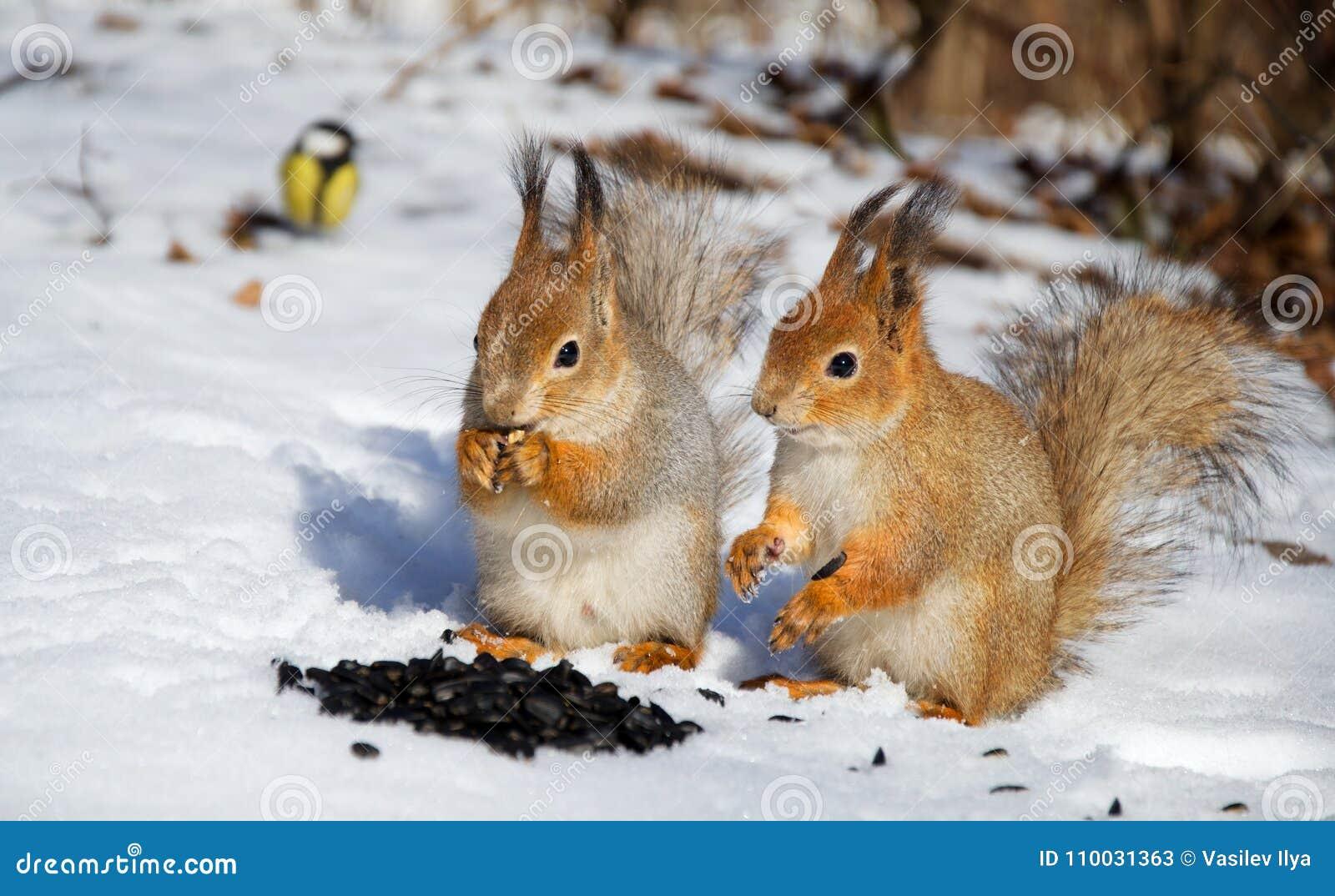 Rode squirel twee in de sneeuw