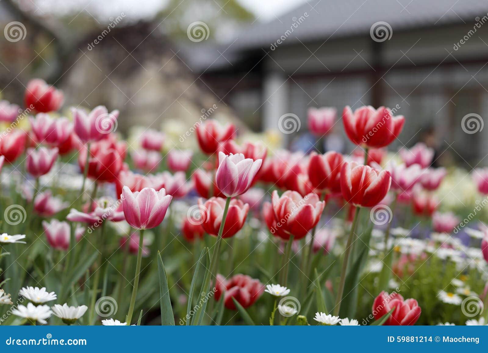 Rode tulp voor huis