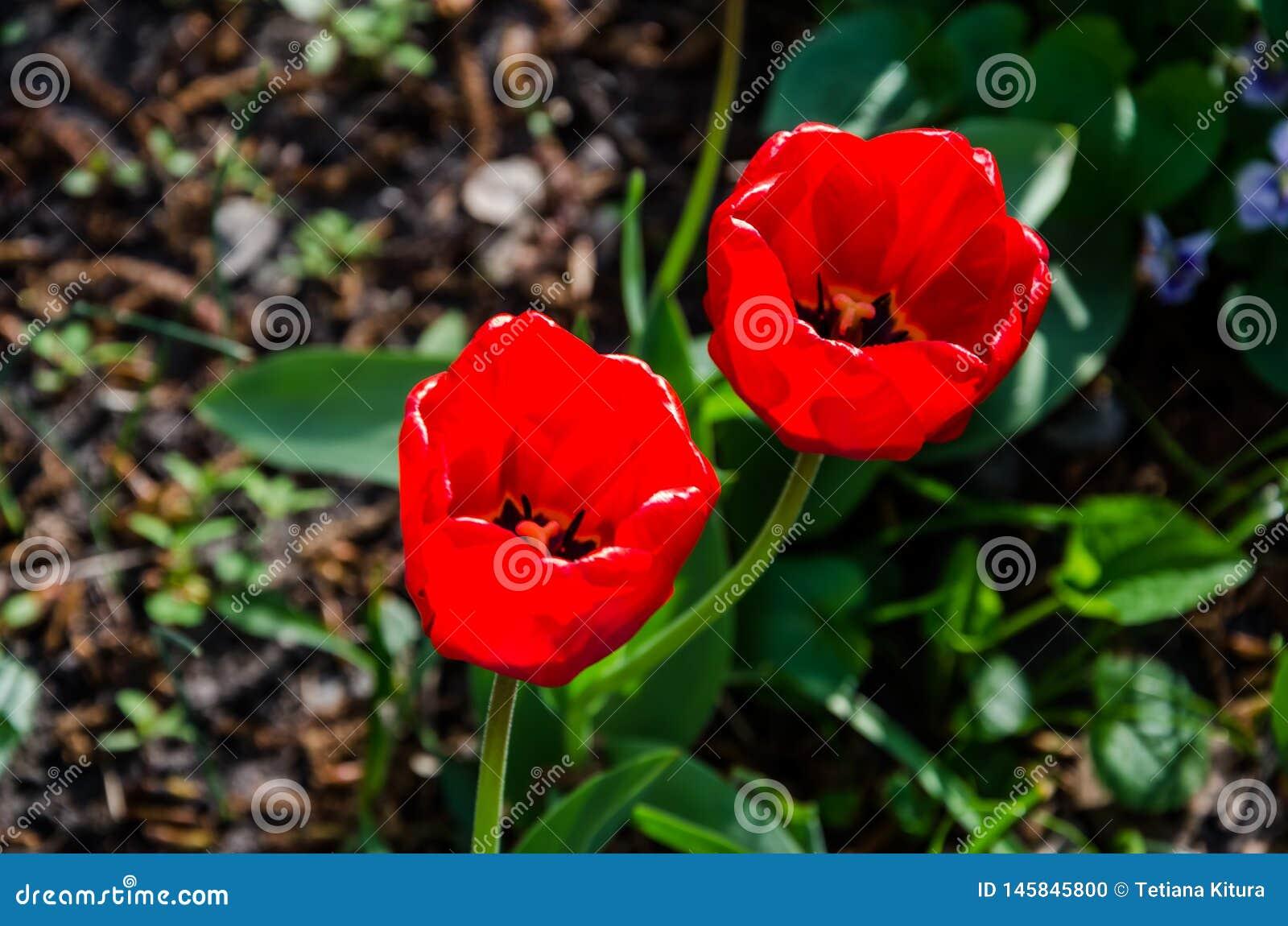 Rode tulpen Close-up