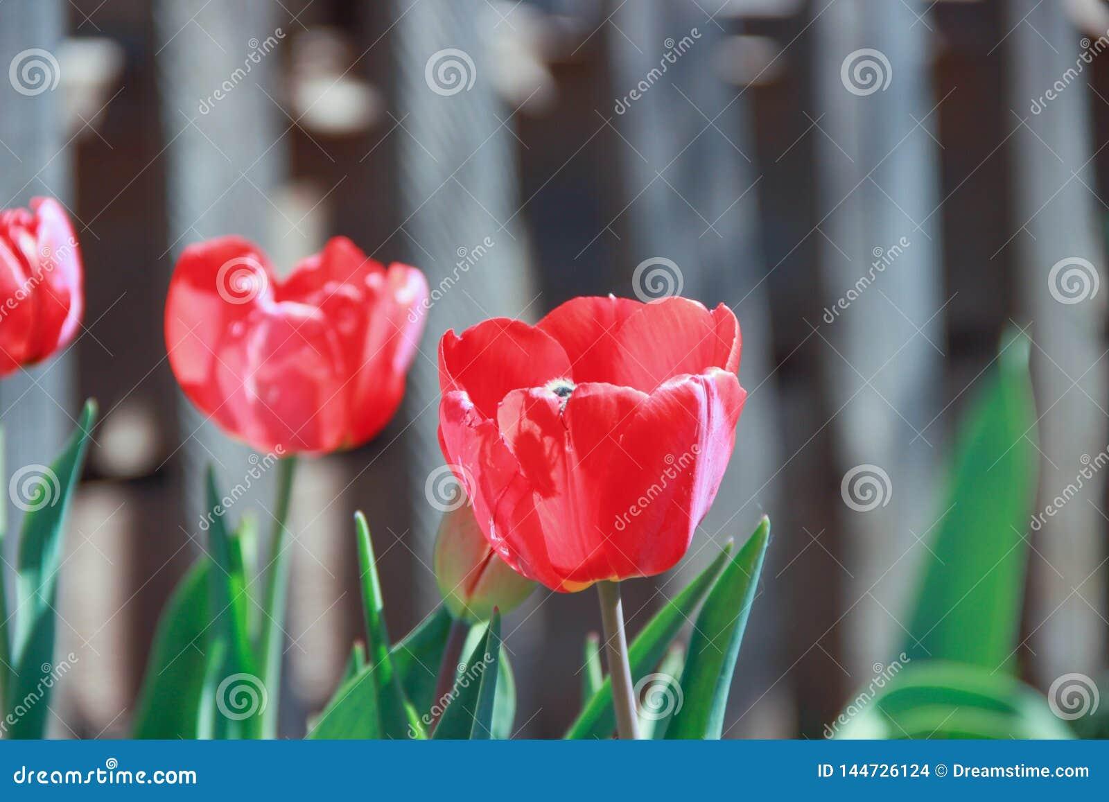 Rode tulpen op de achtergrond van de omheining