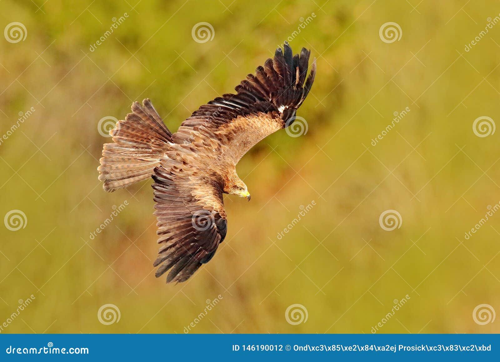 Rode vlieger tijdens de vlucht, Milvus-milvus, roofvogel vlieg boven bosboomweide De jacht van dier met vangst Vlieger met open v