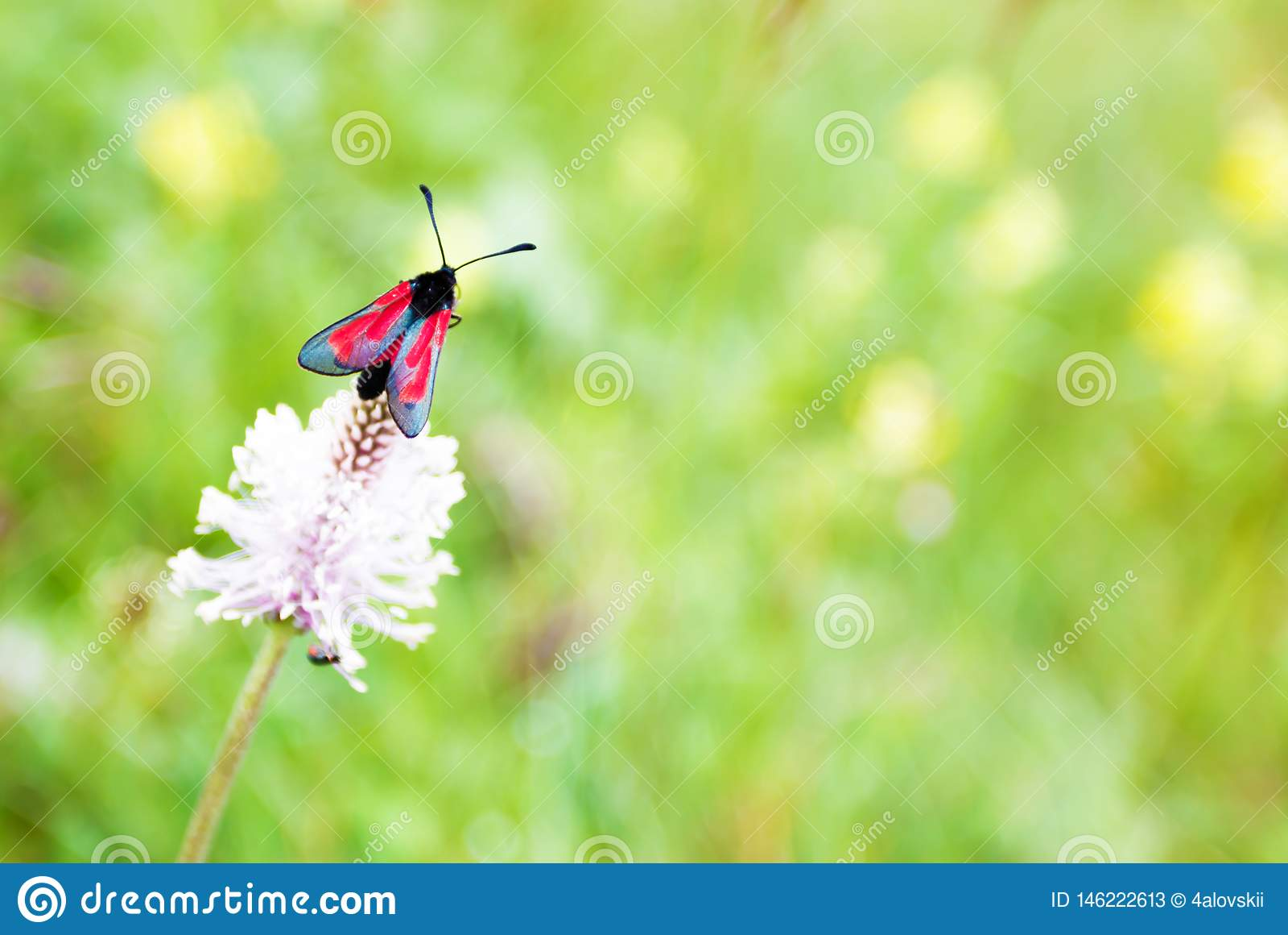 Rode vlinder op klaver, macrofoto
