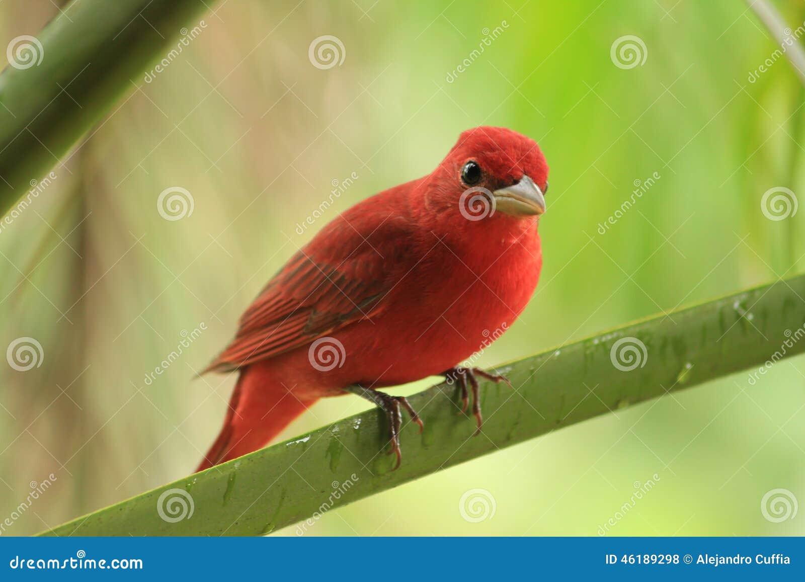 Rode vogel op tak