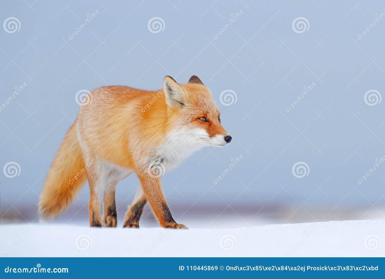 Rode vos in witte sneeuw De koude winter met oranje bontvos De jacht van dier in de sneeuwweide, Japan Mooi oranje laag dierlijk