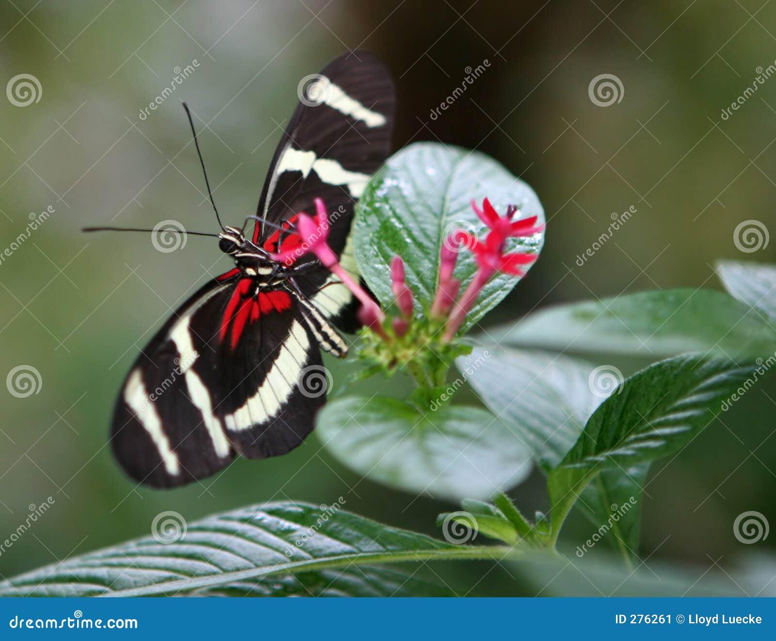 Rode Zwarte Vlinder