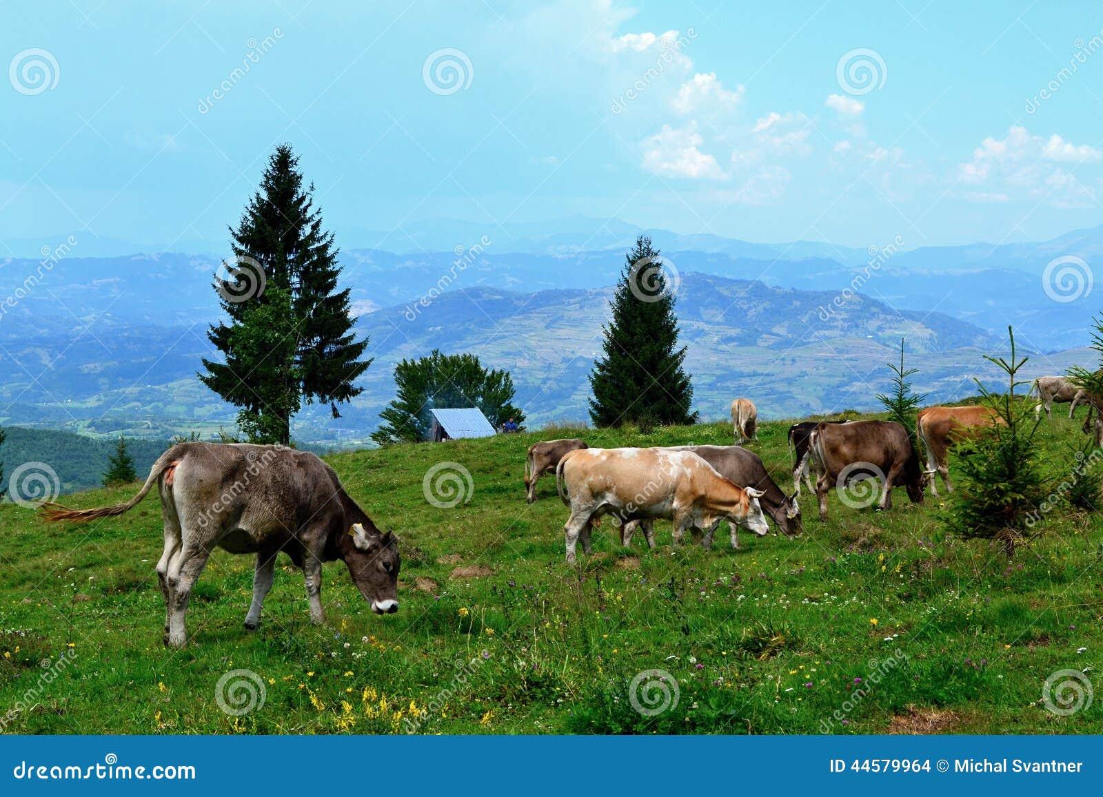 Rodna山在罗马尼亚-吃草母牛