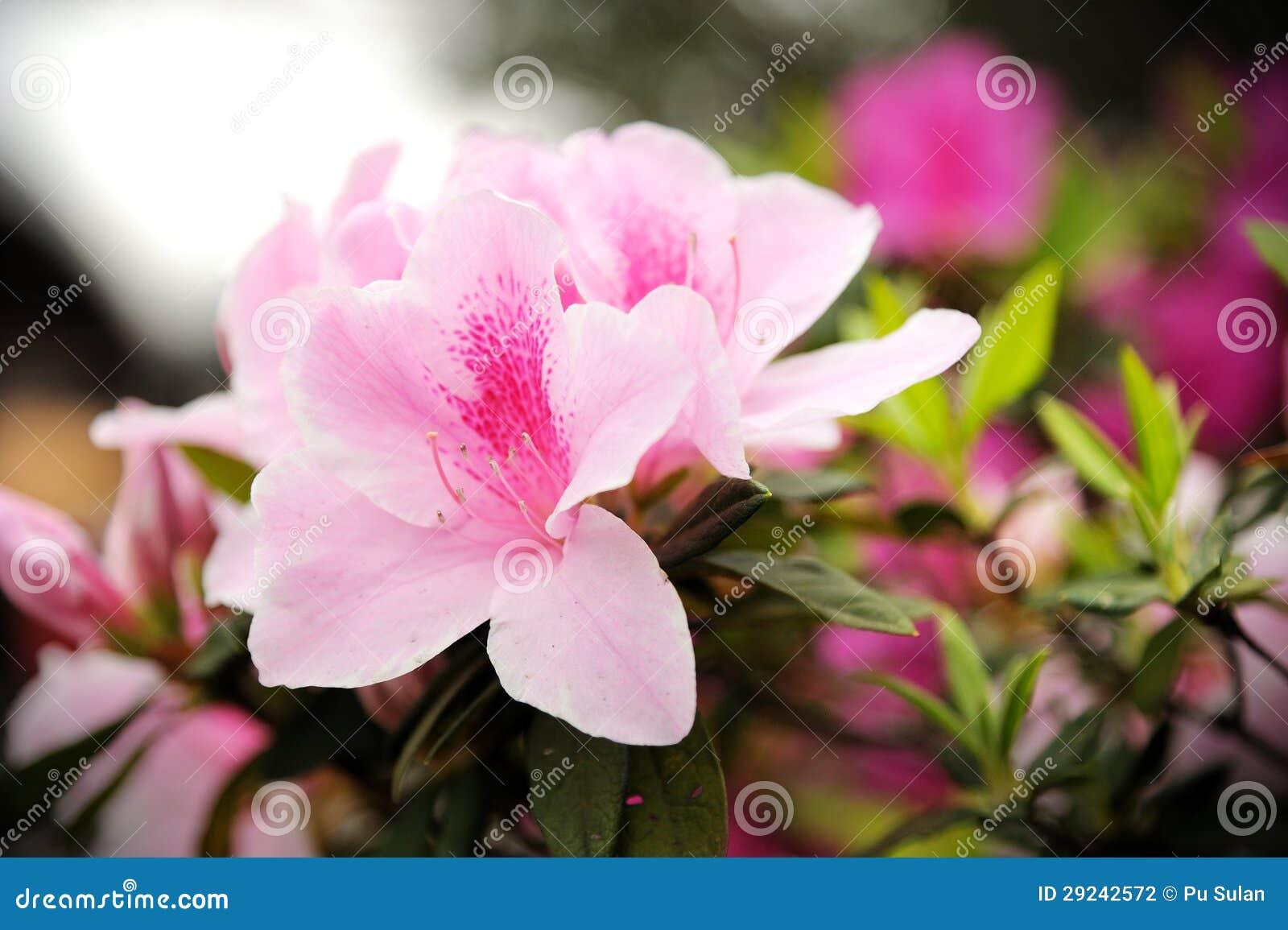 Download Rododendro (azálea) foto de stock. Imagem de folha, jardim - 29242572