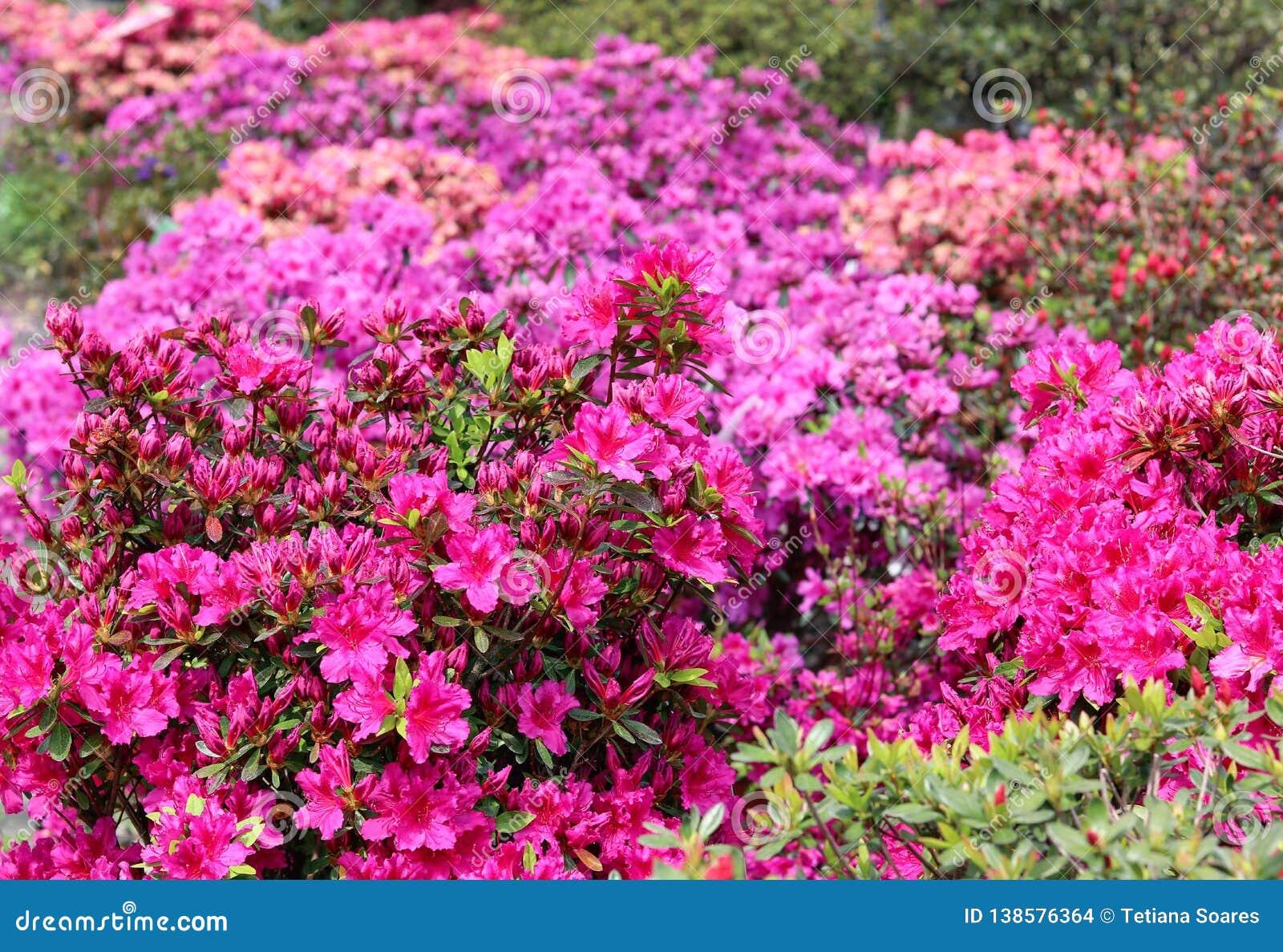 Rododendro na flor completa com as flores brilhantes do rosa, as corais e as magentas Arbustos de florescência da azálea com abun