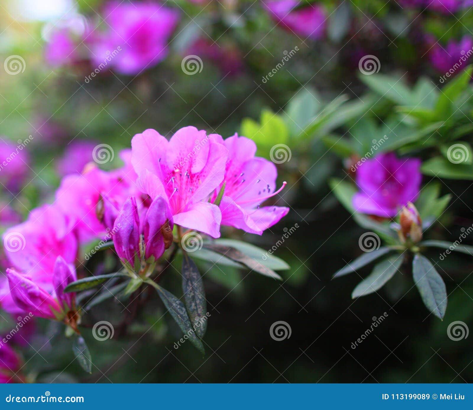 Rododendro porpora dell azalea in piena fioritura