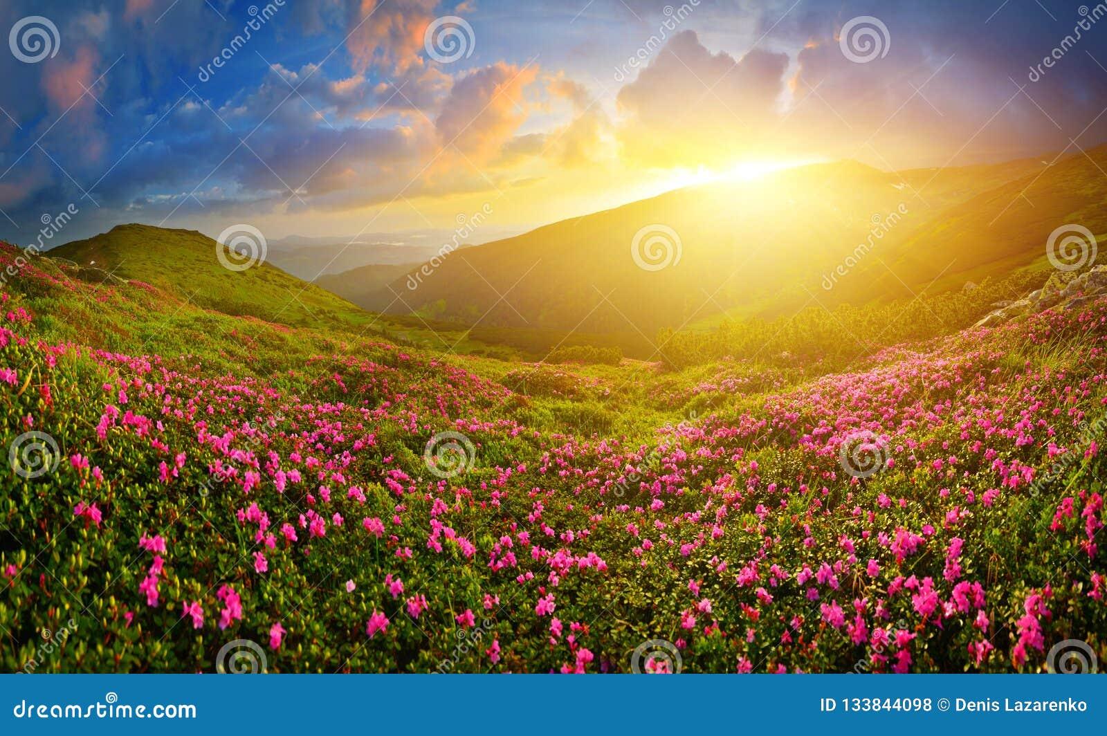 Rododendro rosa di fioritura in altopiano di estate