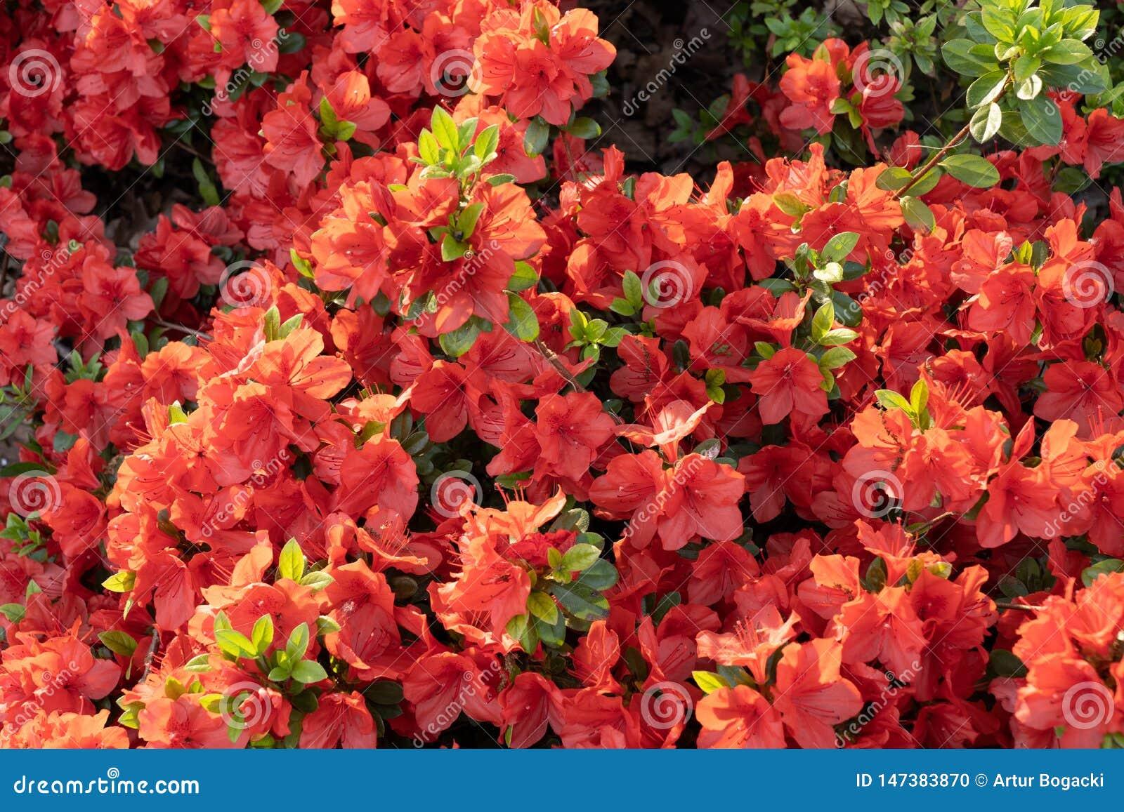 Rododendrongeisha Orange Flowers