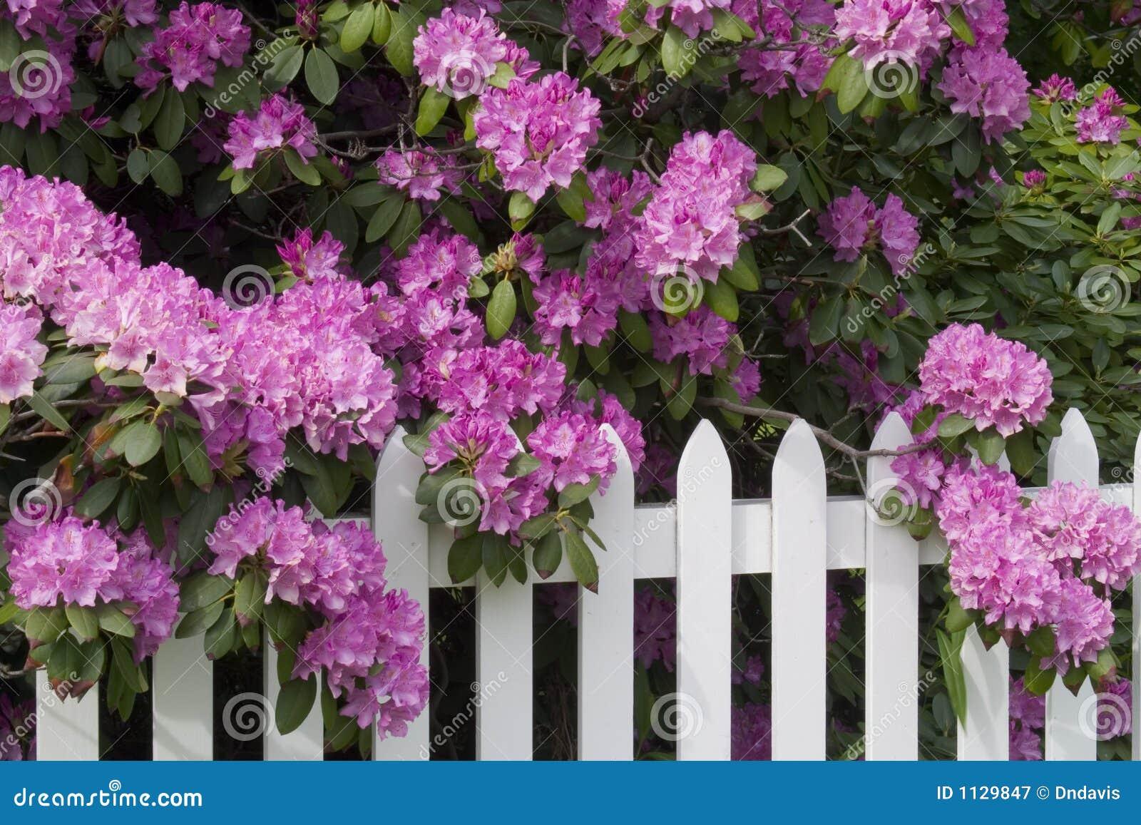 Rododendrons en de Omheining van het Piket