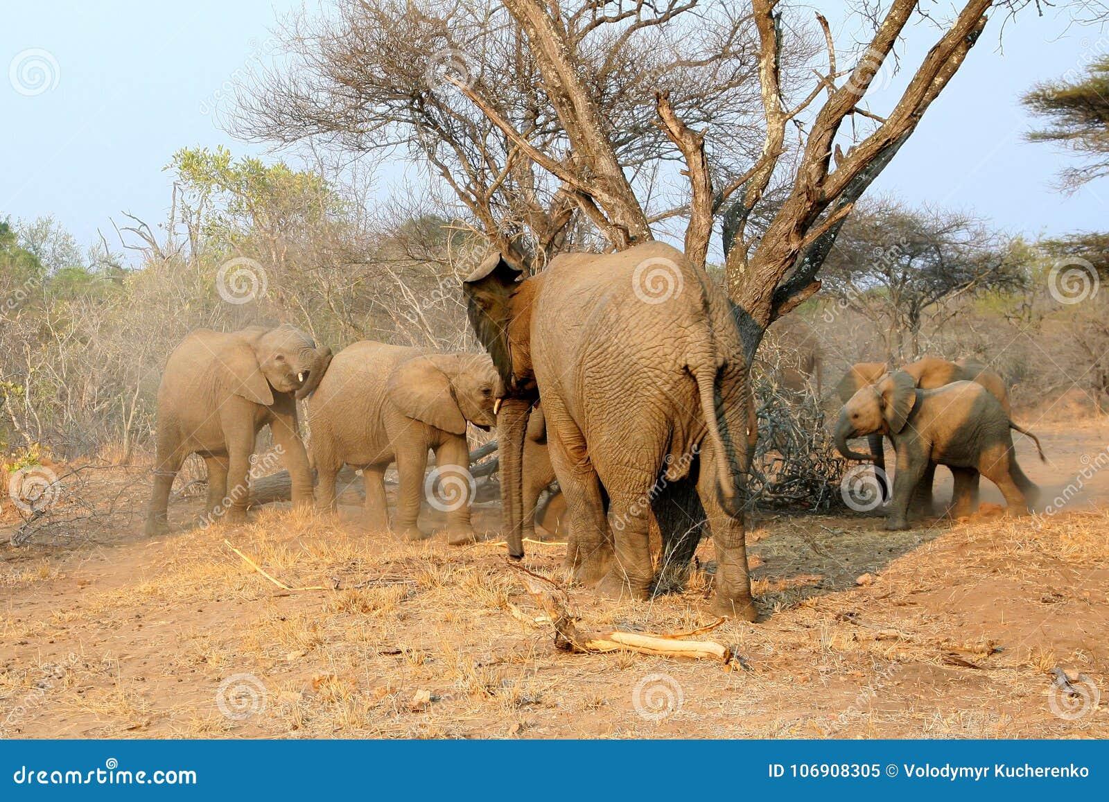 Rodzina Afrykańscy słonie na karmieniu