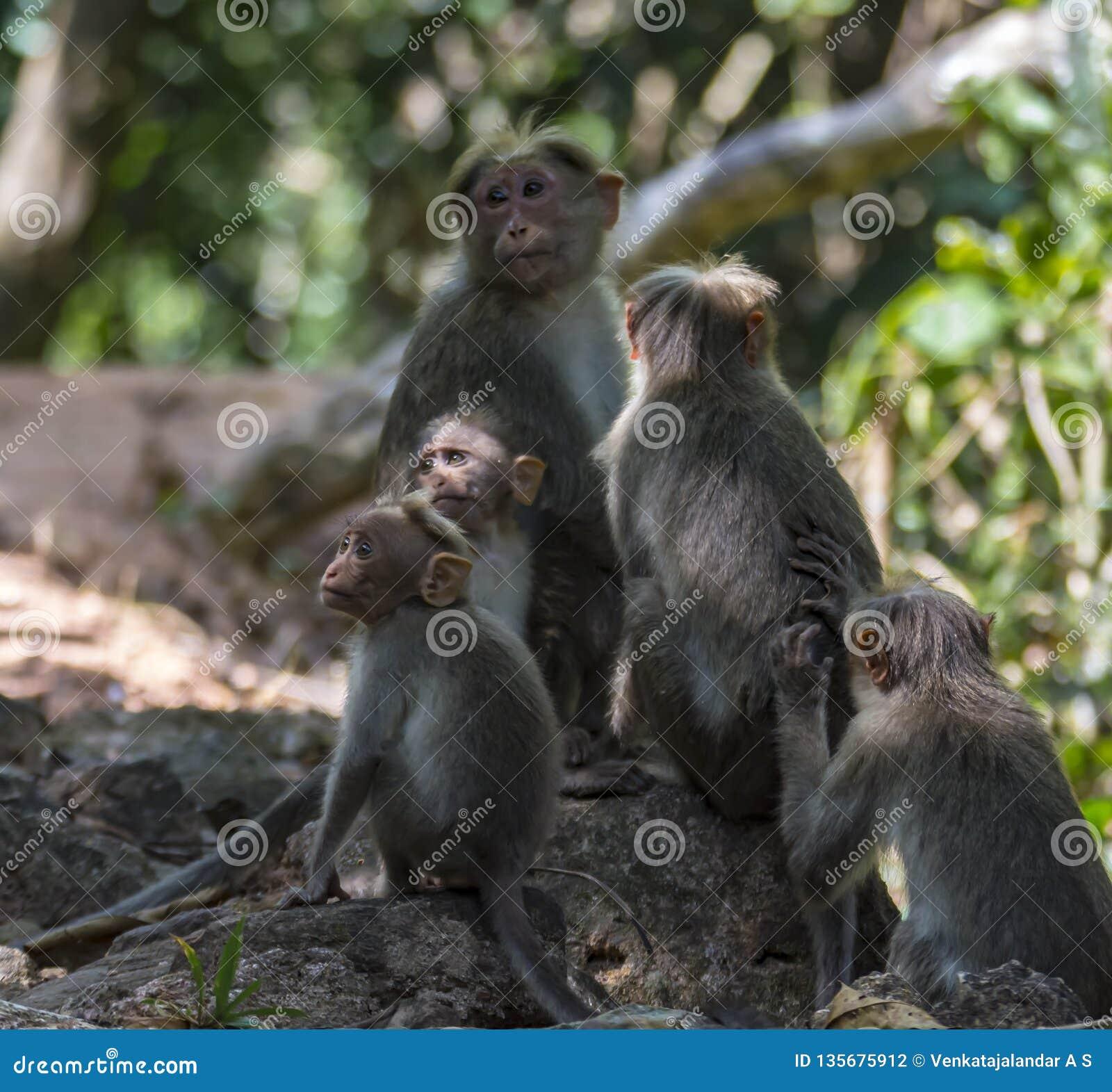 Rodzina czapeczka makak w świetle słonecznym i cieniach - Macaca radiata