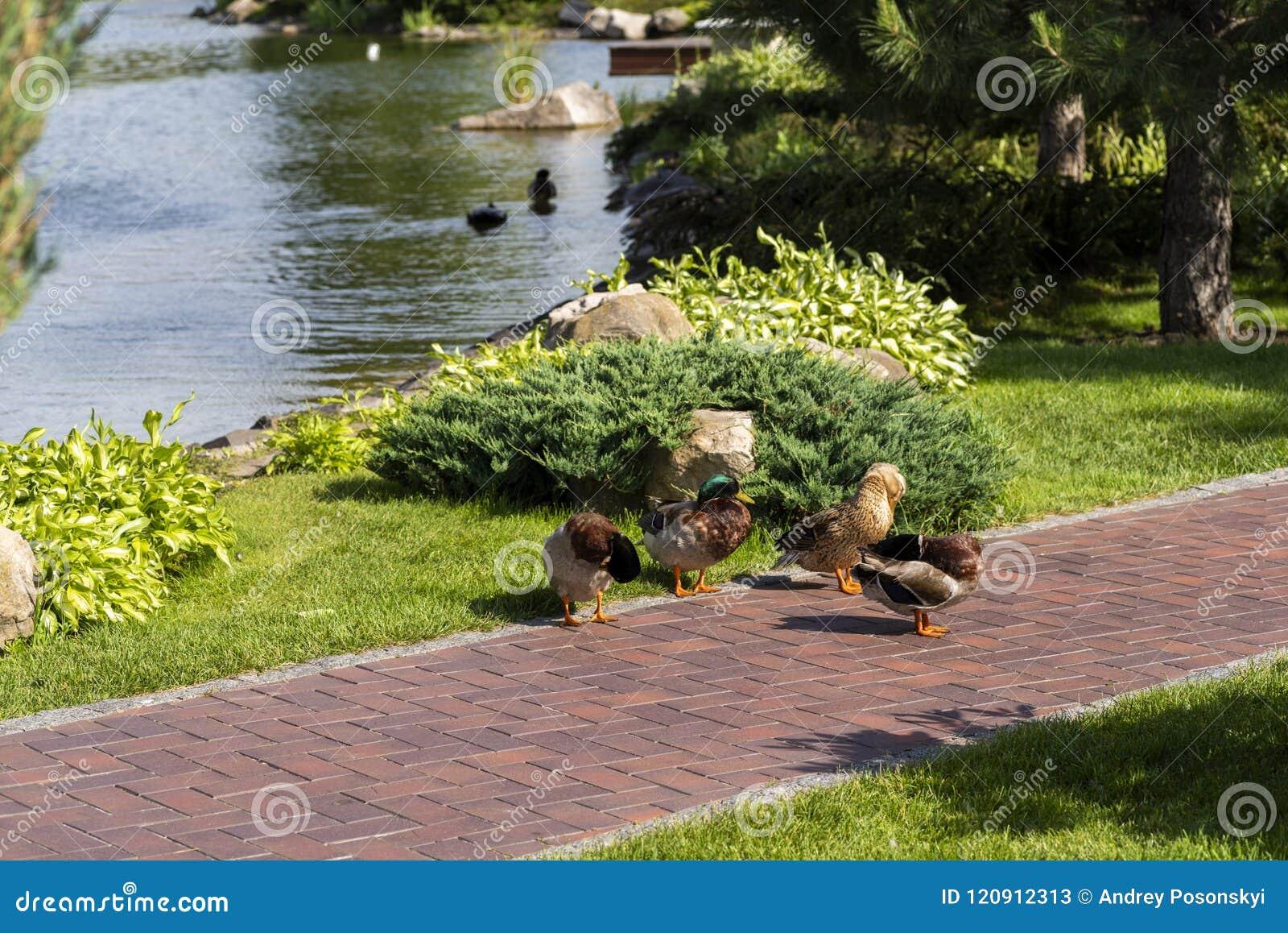 Rodzina dzikie kaczki w kształtuje teren parka