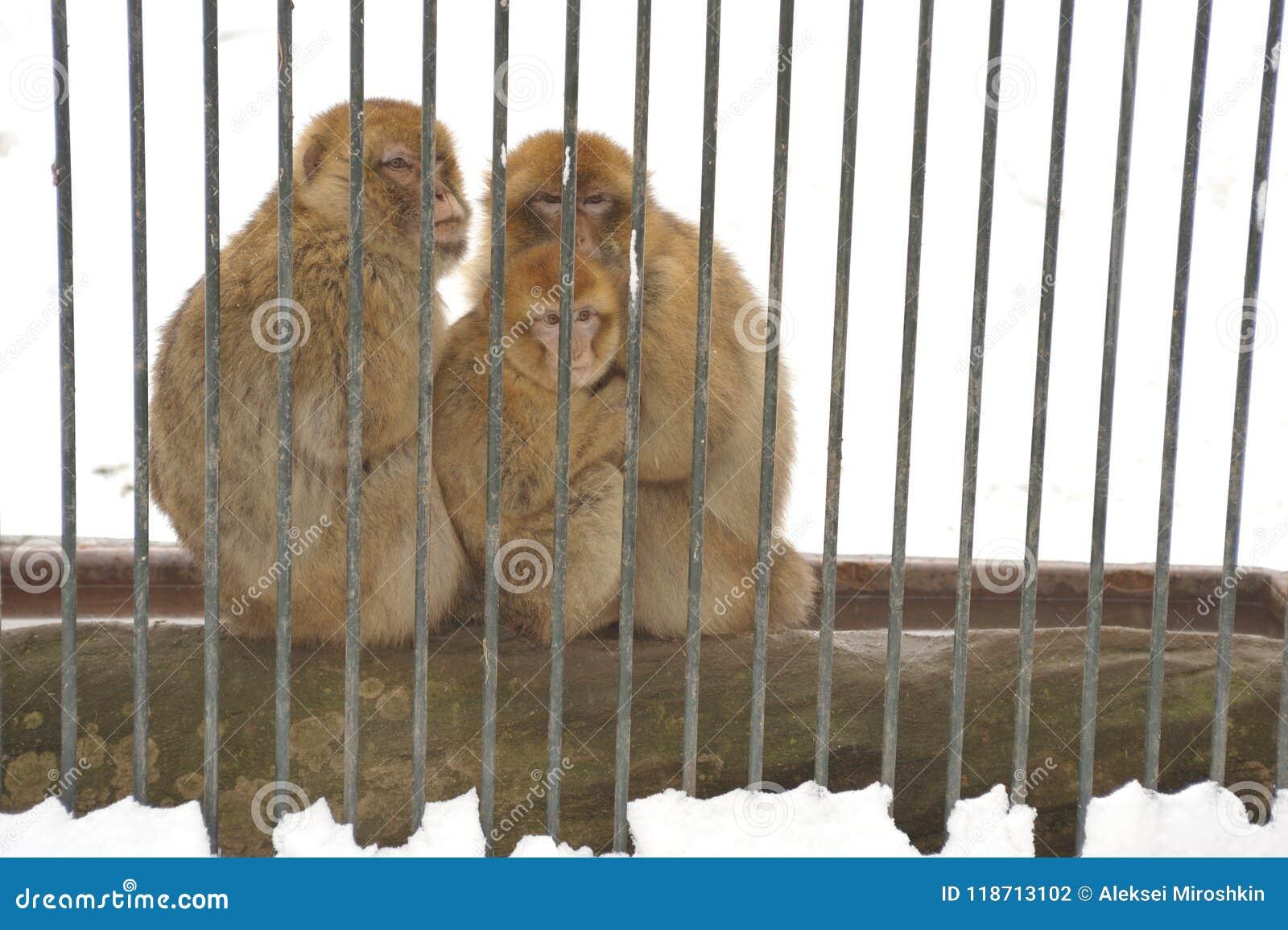 Rodzina Japoński makak
