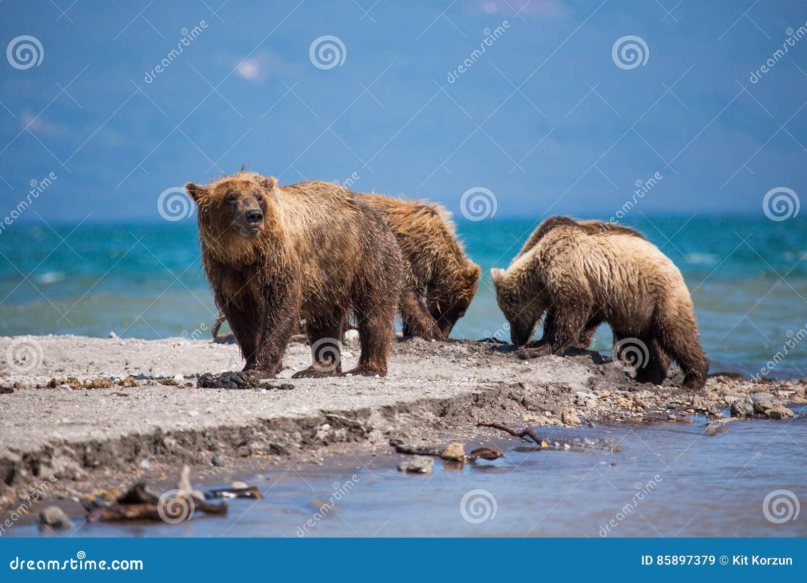 Rodzina niedźwiedzie, matkuje łapie ryba