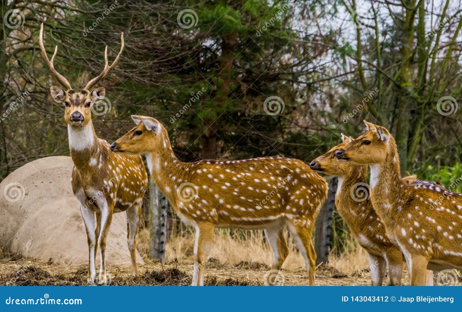 Rodzina osi deers wpólnie, Jeden jeleń prowadzi stada, zwierzę od lasów India i Ameryka