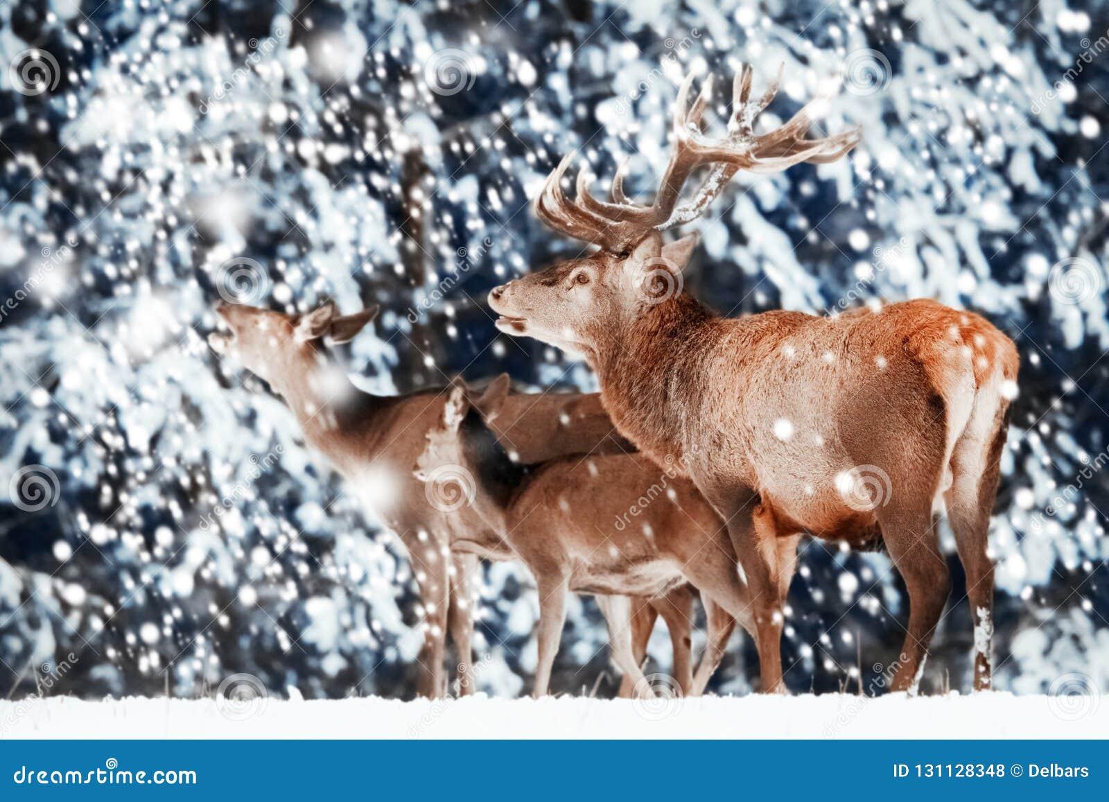 Rodzina szlachetni czerwoni rogacze w zima lesie