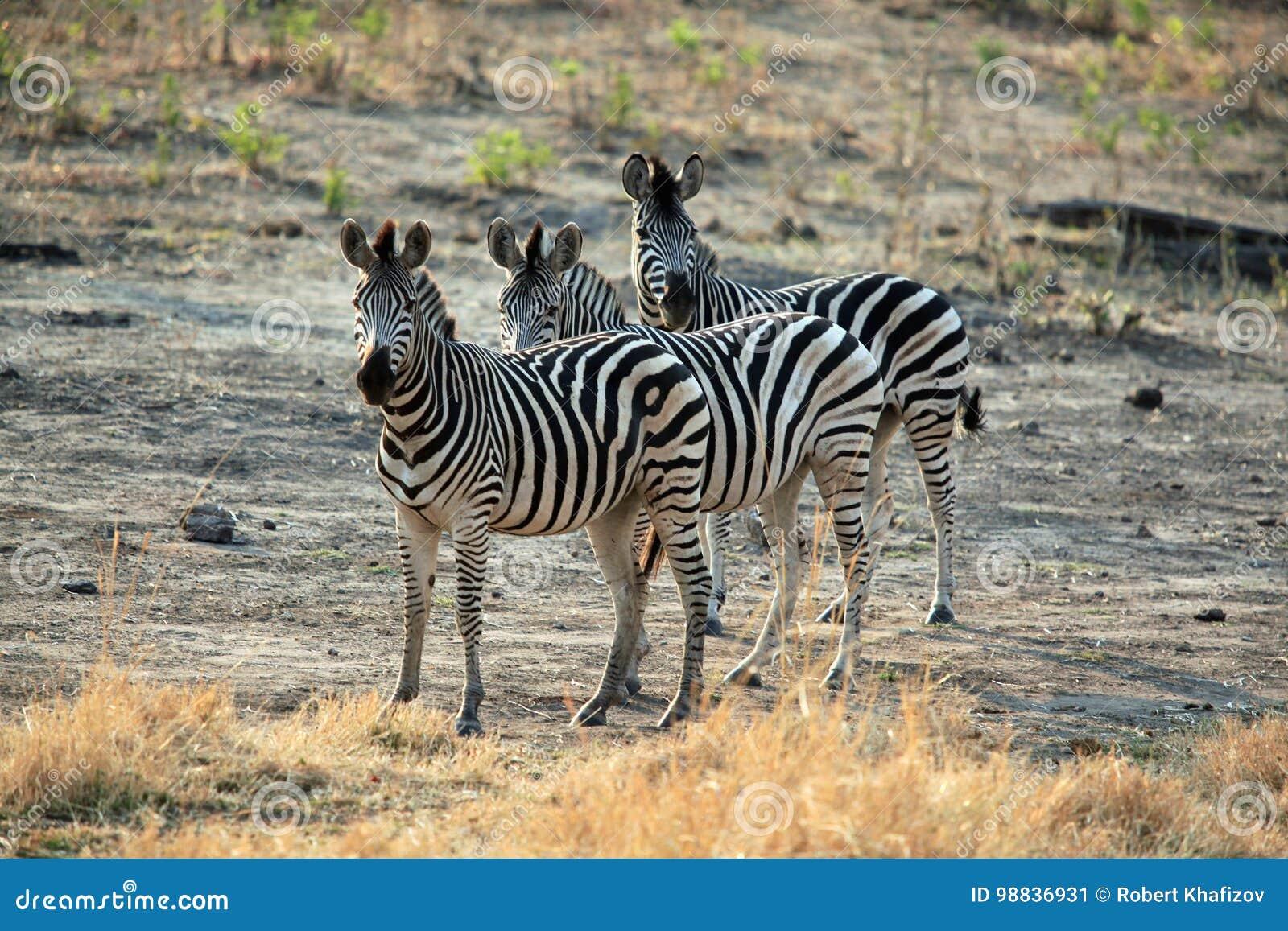 Rodzina zebry pozycja w Afrykańskiej sawannie