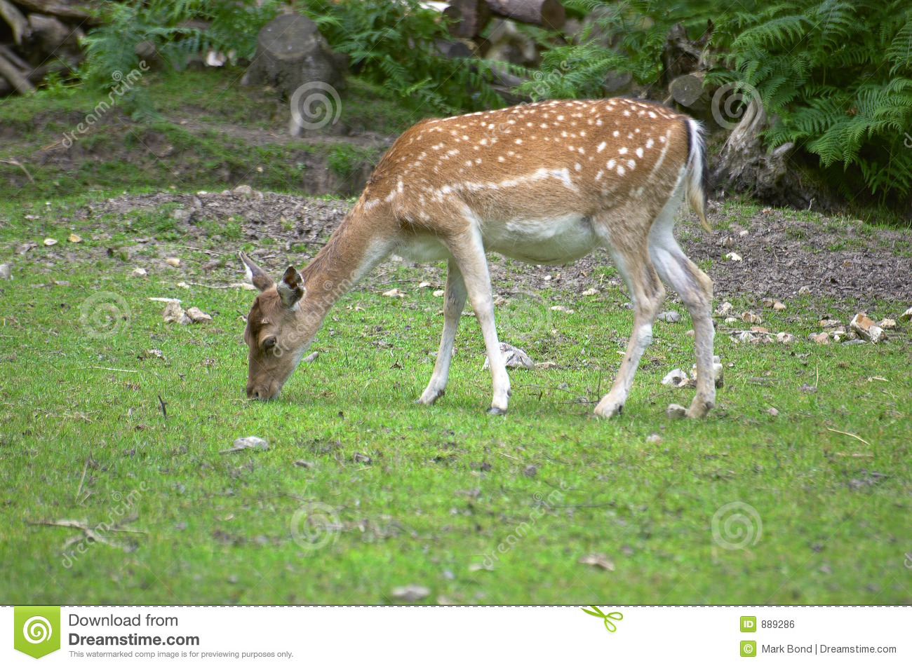 Spotted Dear in mating season - India Travel Forum