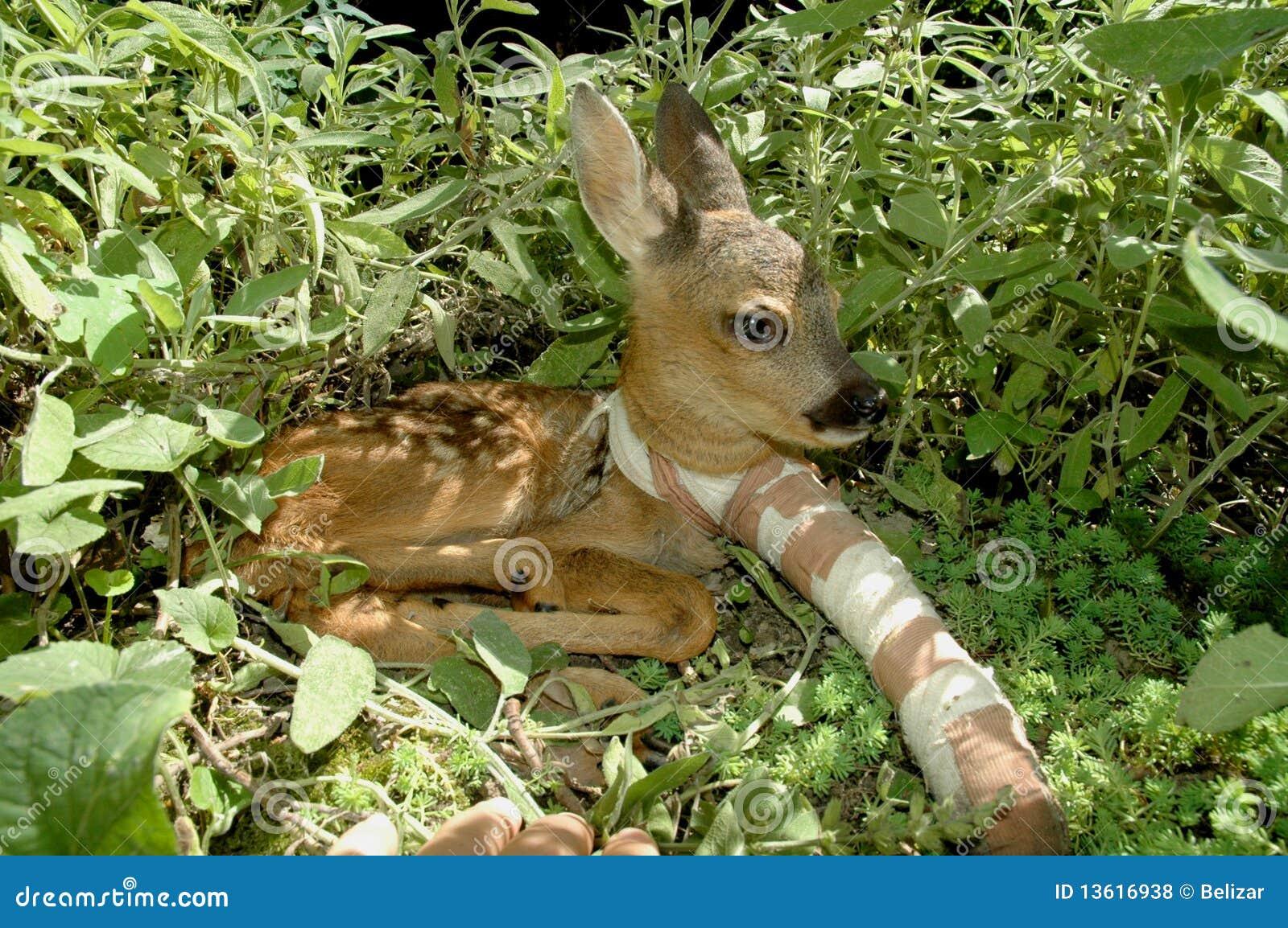 Roe deer (Capreolus capreolus) with broken leg