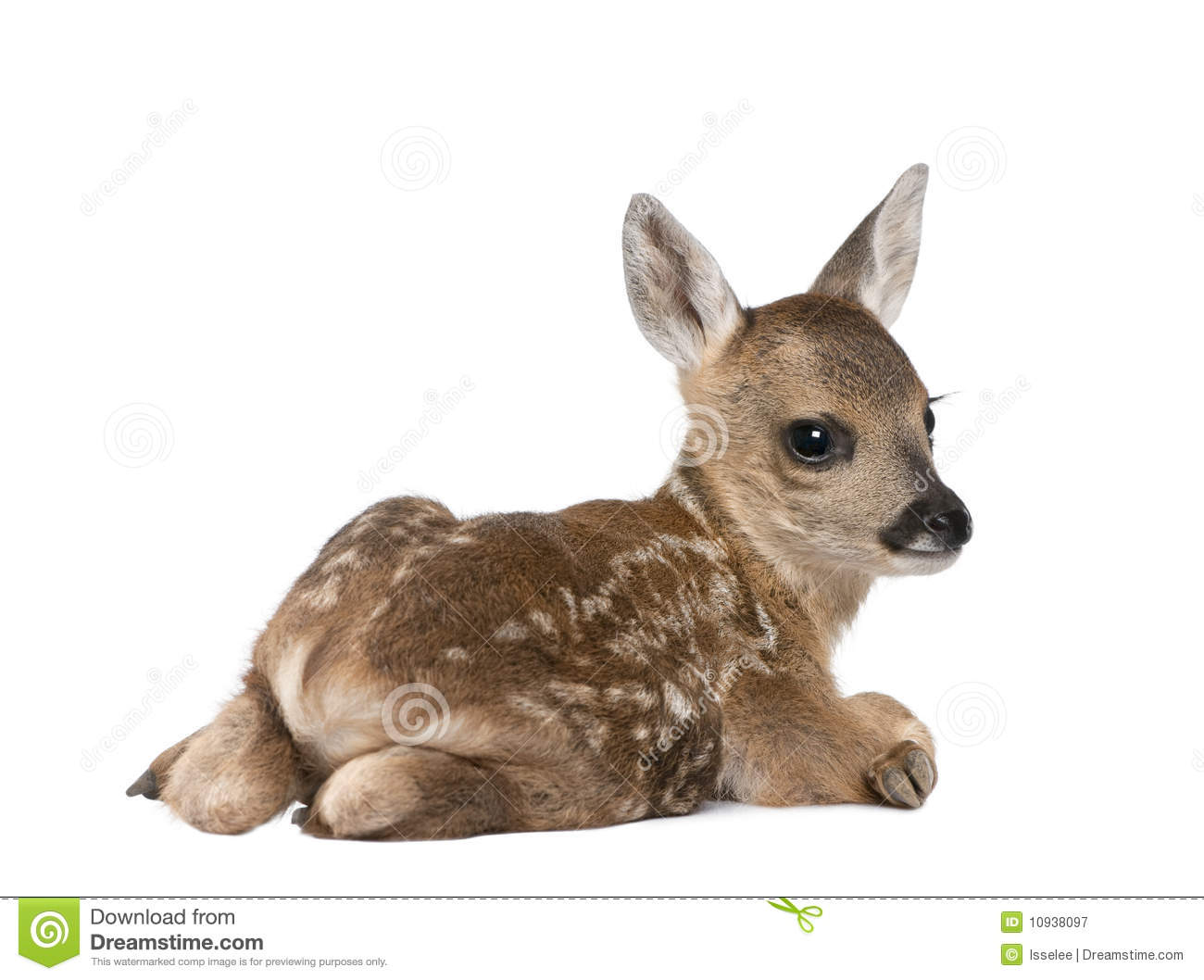 Newborn Coyote Roe Deer Fawn In Front...