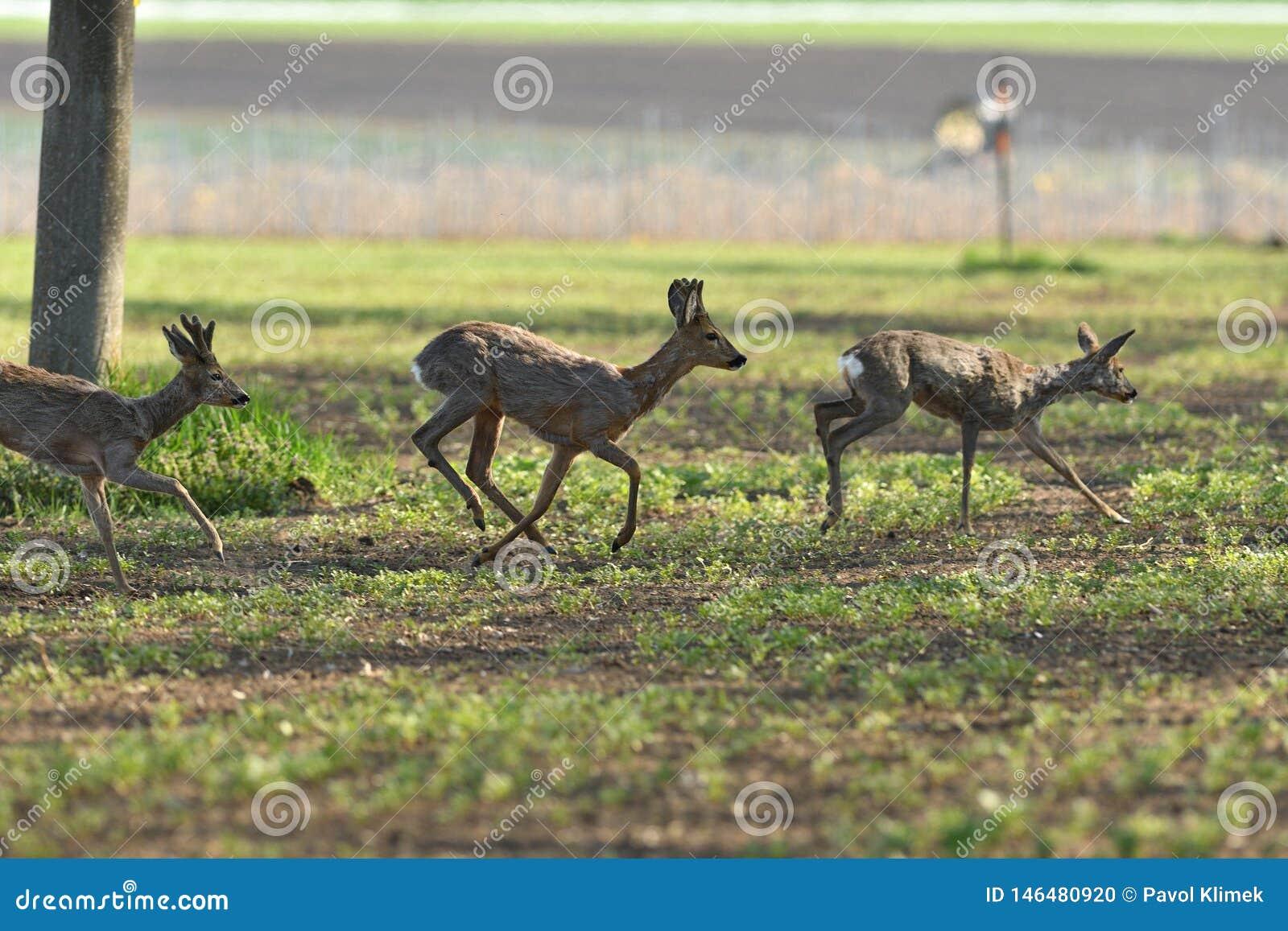Herd of roe deer running through a farm field in spring
