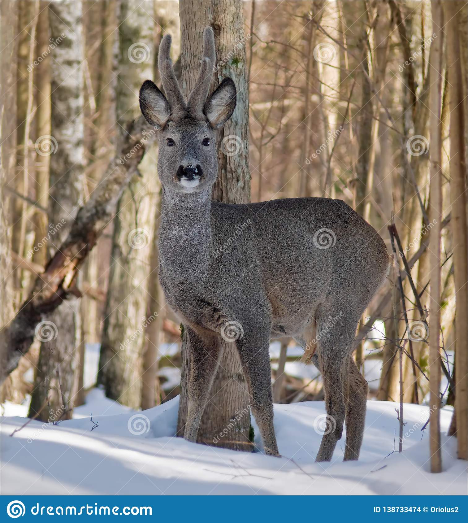 Roe deer male stands between trees in winter forest