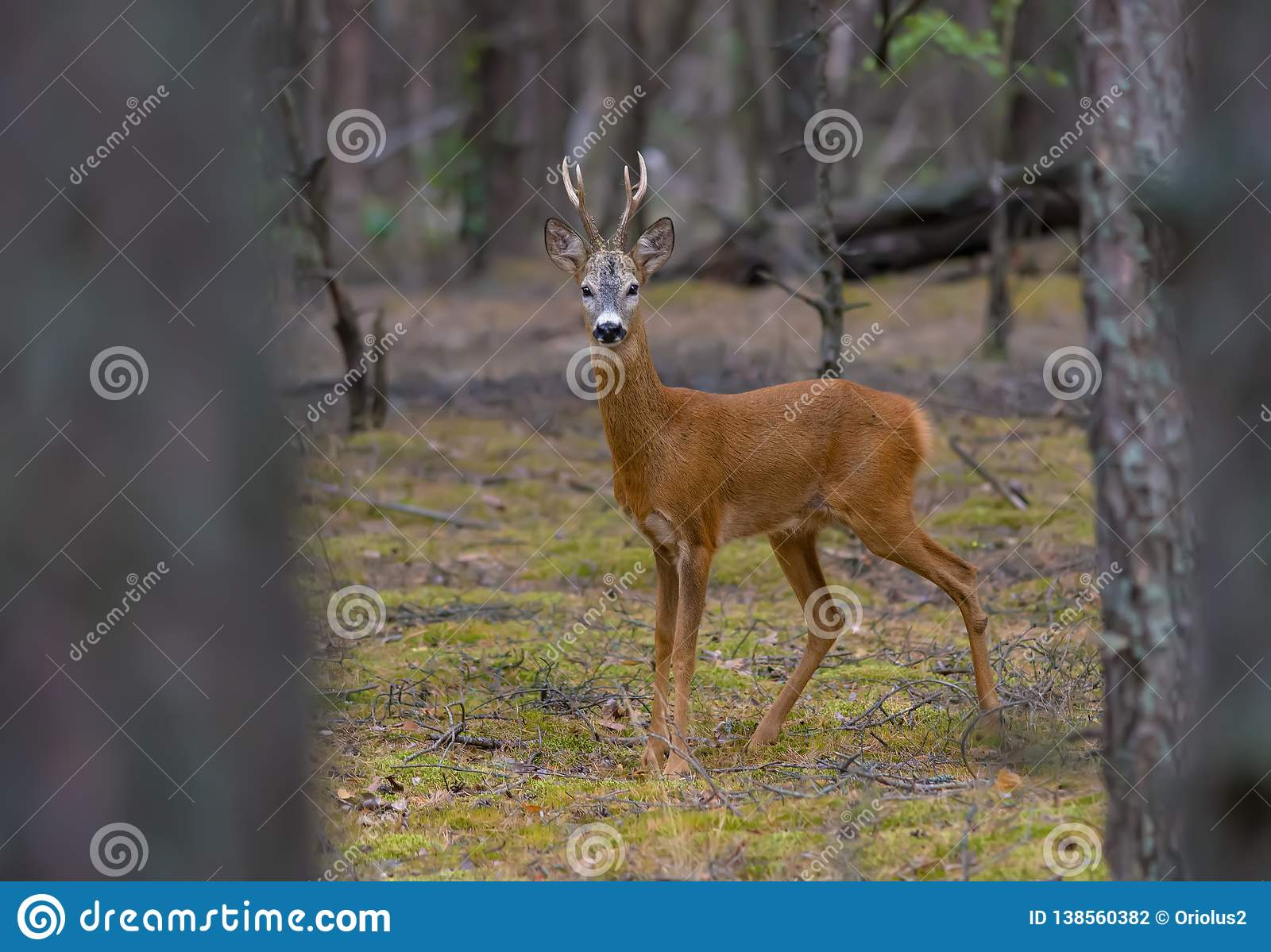 Roe deer male stands firmly in pine forest