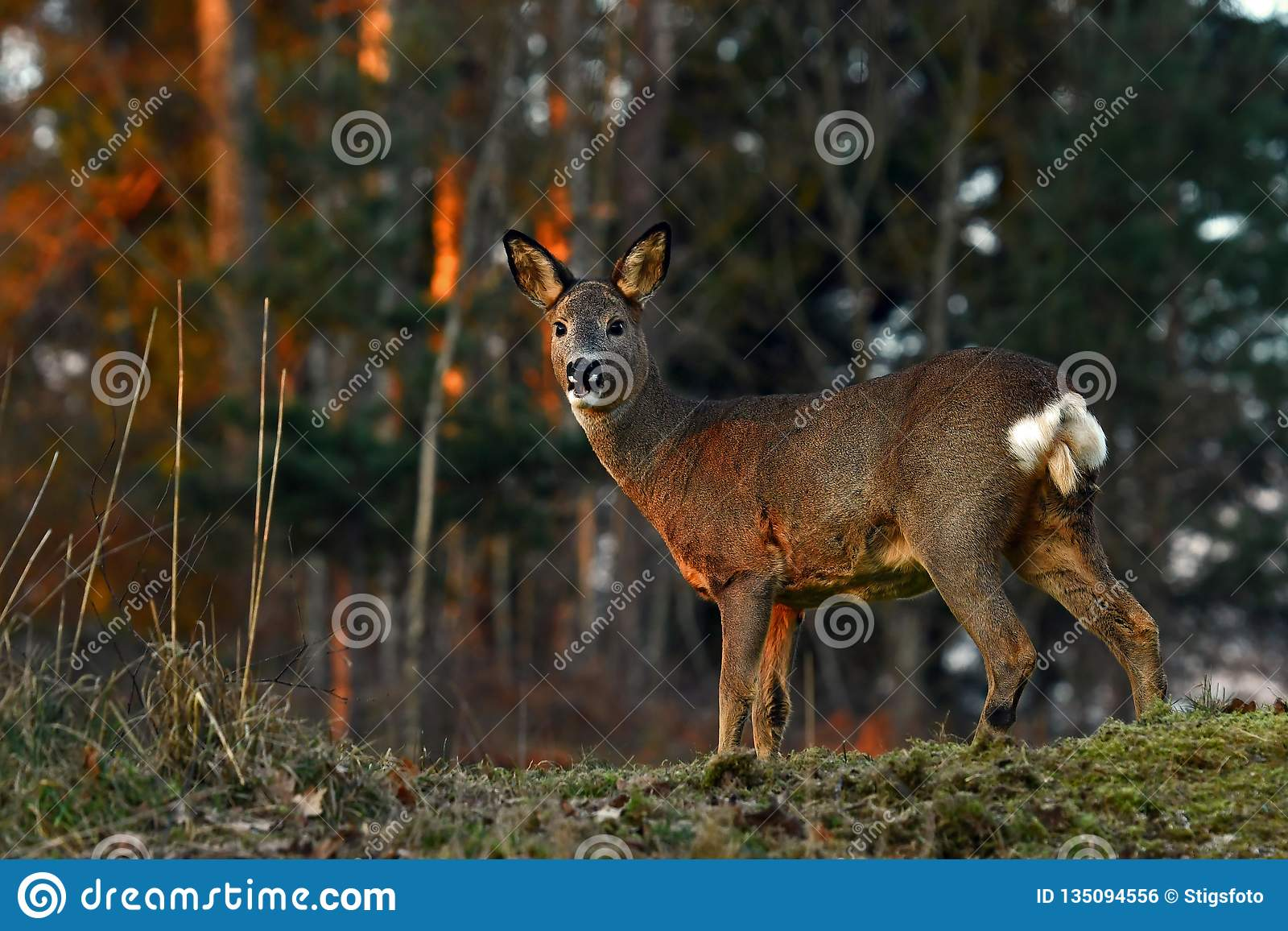 Roe deer in a warm morning light