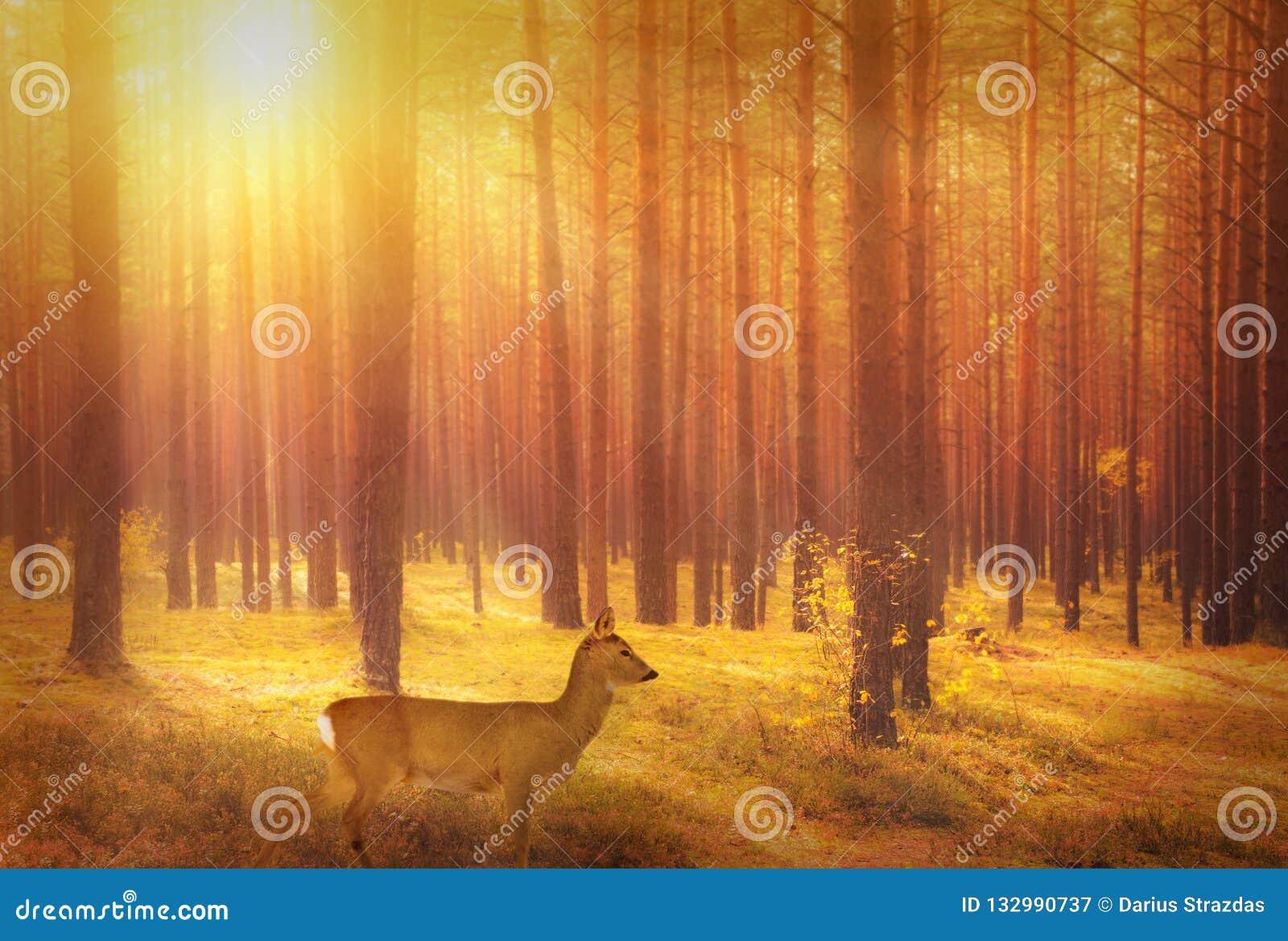 Roe rogacze w lesie przy wschód słońca