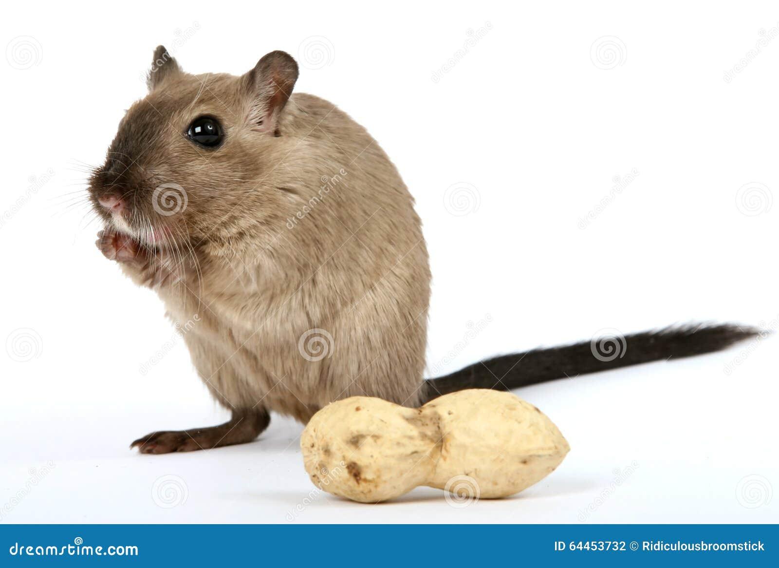 Roedor femenino con el cacahuete de la nuez de mono en blanco