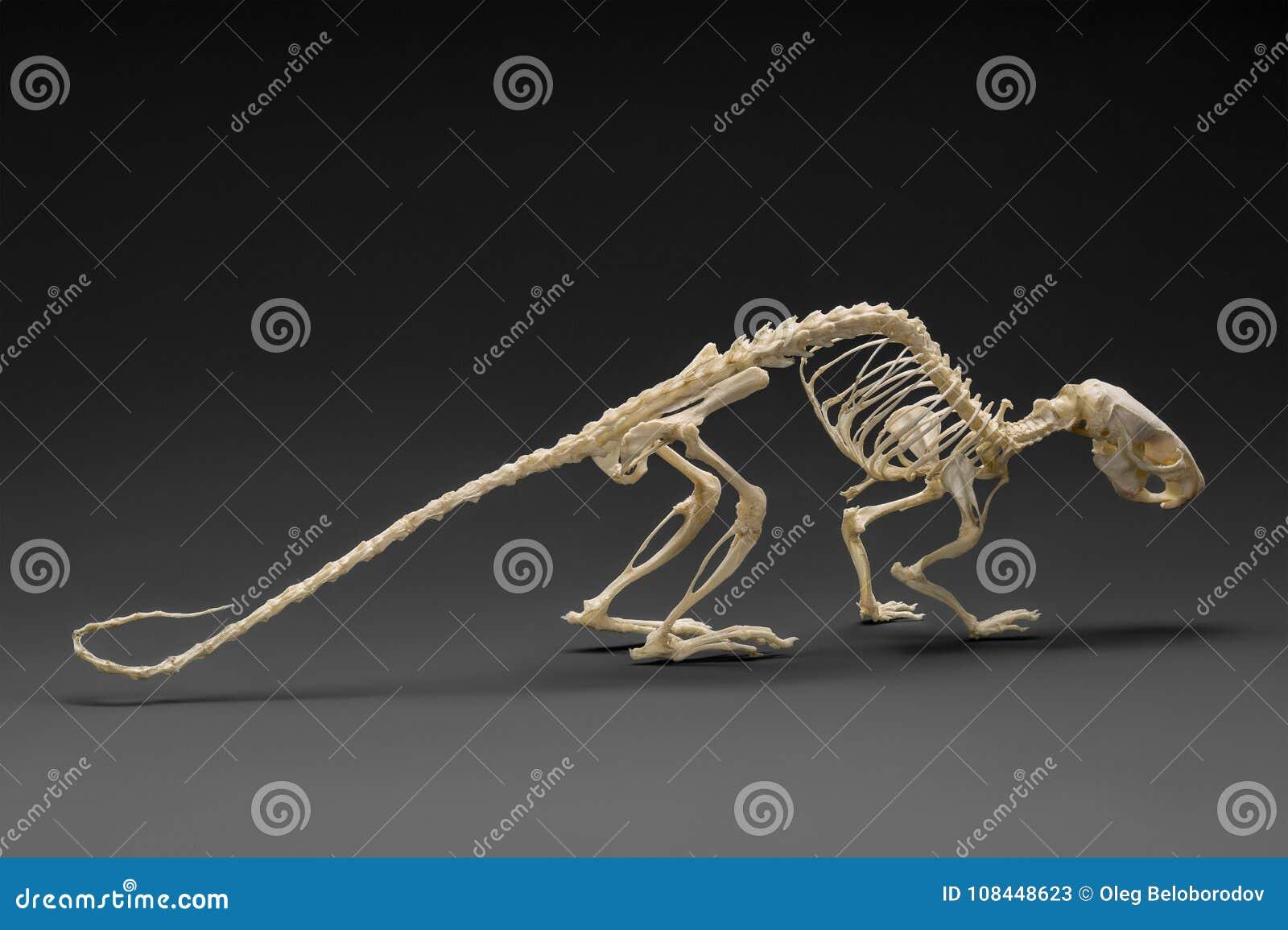 Roedores Esqueleto Del Ratón De La Rata Imagen de archivo - Imagen ...
