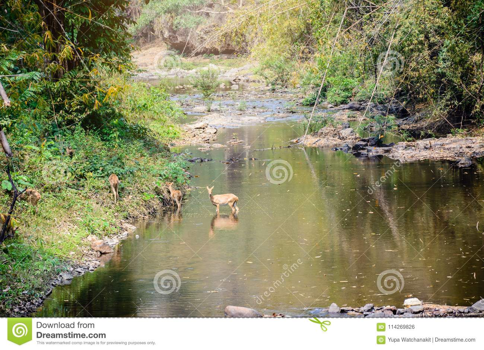 Rogacz i łanie chodzi przez wody las