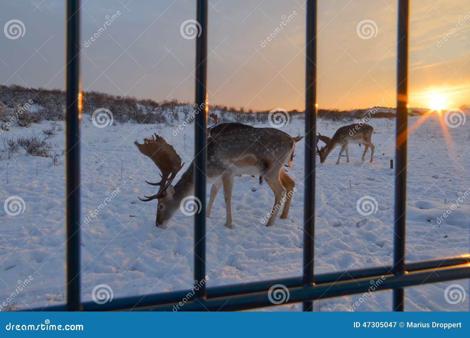 Rogacz w śniegu na diunach