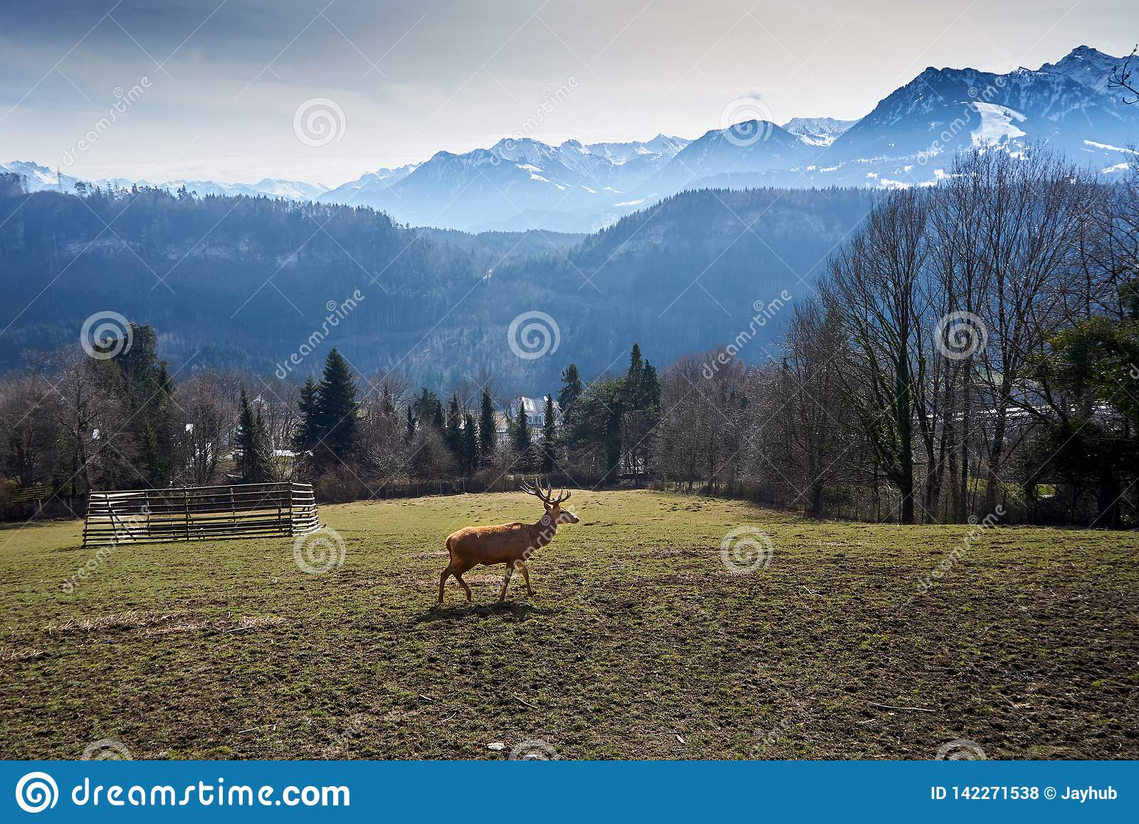 Rogacze na polu w Austria z górami z śniegiem i drewnie w tle