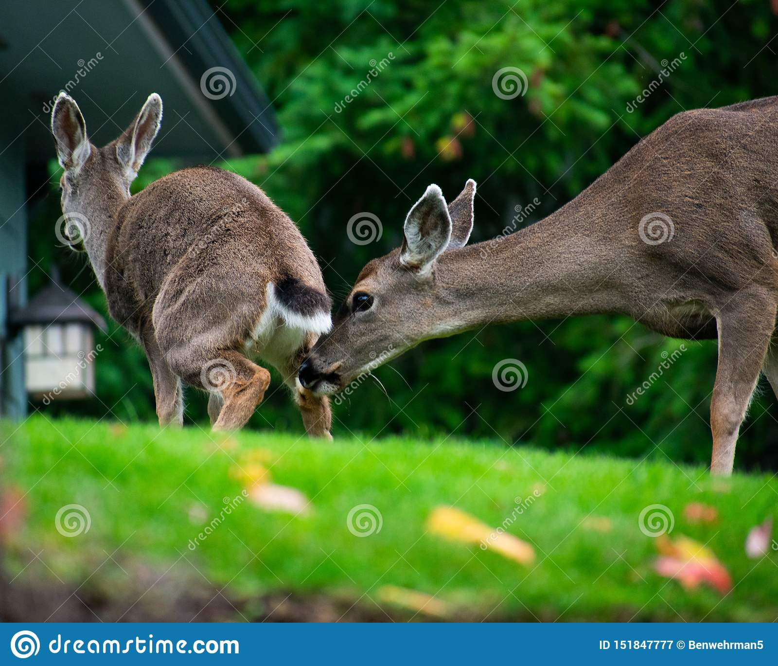 Rogacze obwąchuje innego deers krupon