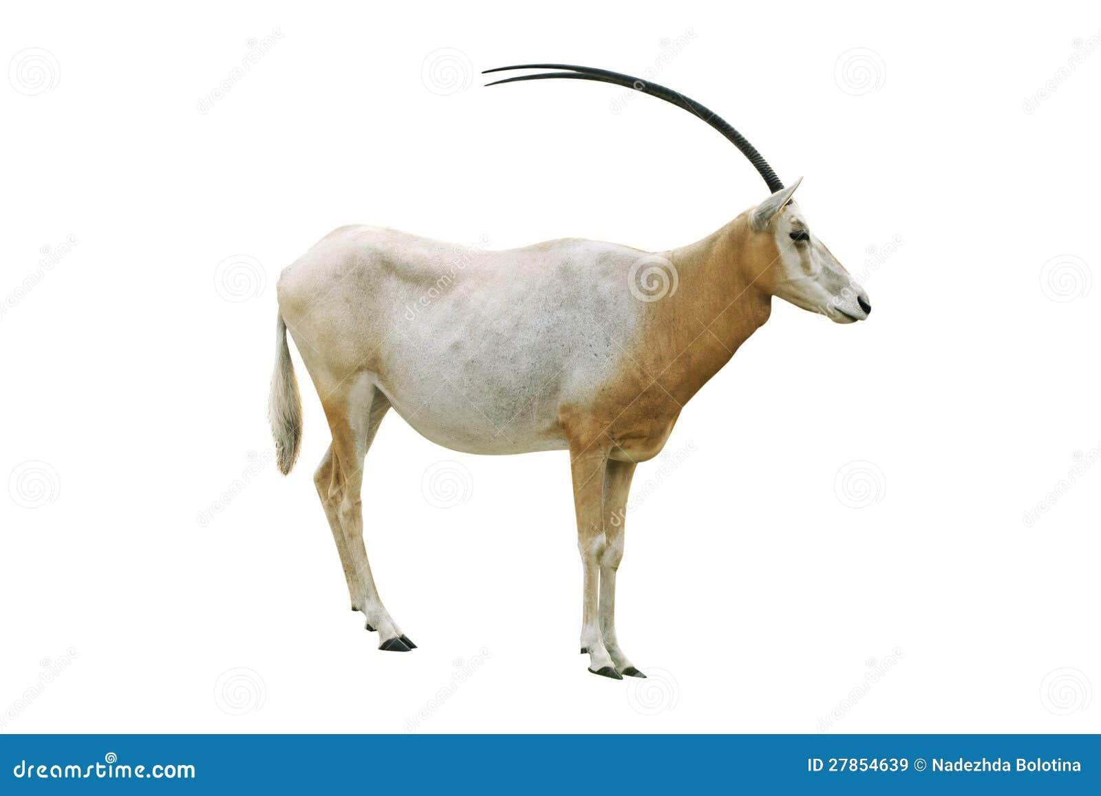 Rogaty bułata oryx