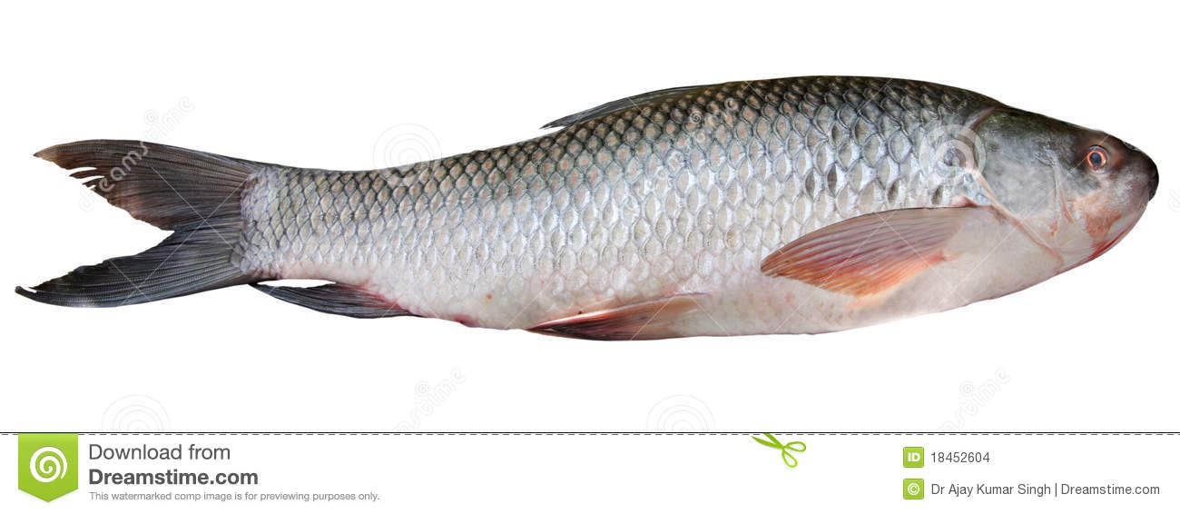 Rohu fish found commonly in rivers and freshwater lakes in and around ...