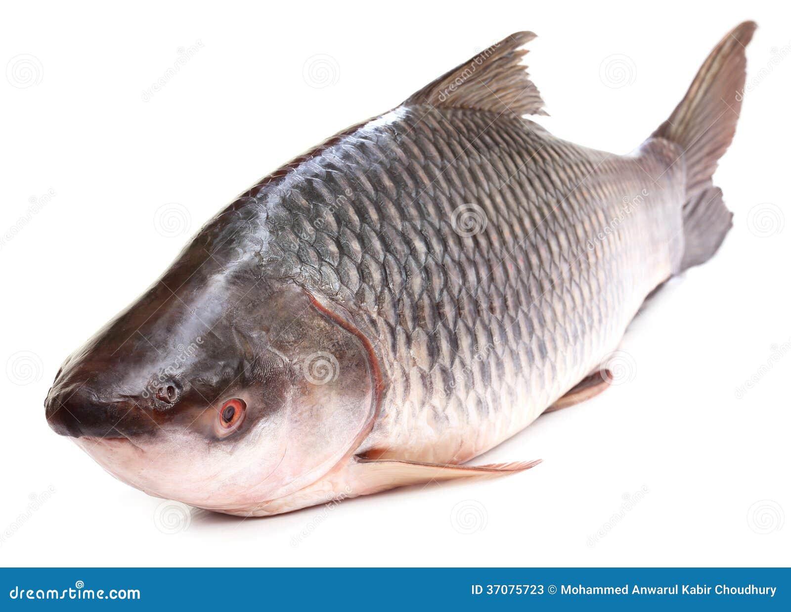 Download Rohu Lub Rohit Ryba Indiański Subkontynent Obraz Stock - Obraz złożonej z słodkowodny, proteina: 37075723