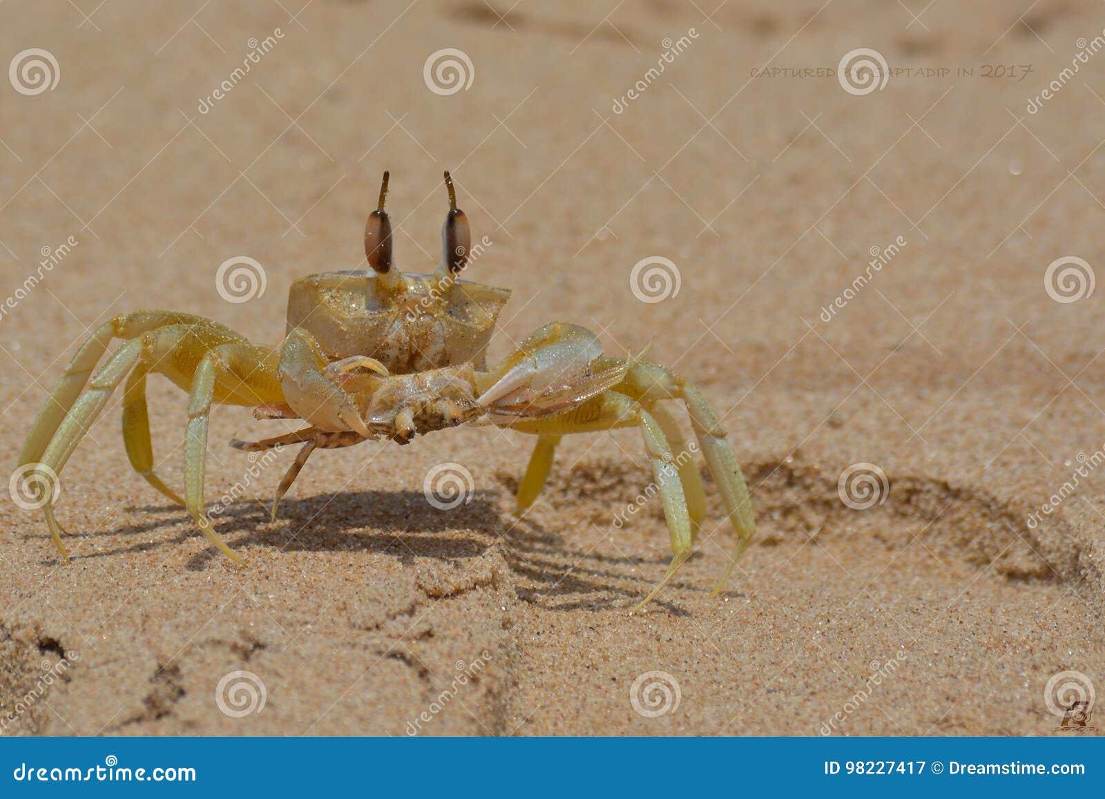 Roi de crabe