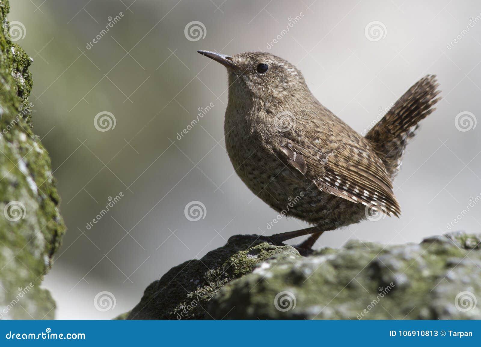 ROITELET d HIVER masculin se reposant sur les roches près de son nid un été