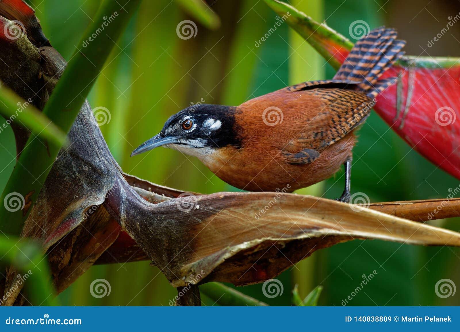 Roitelet de baie - le nigricapillus de Cantorchilus est des espèces fortement vocales d un roitelet des secteurs boisés, particul