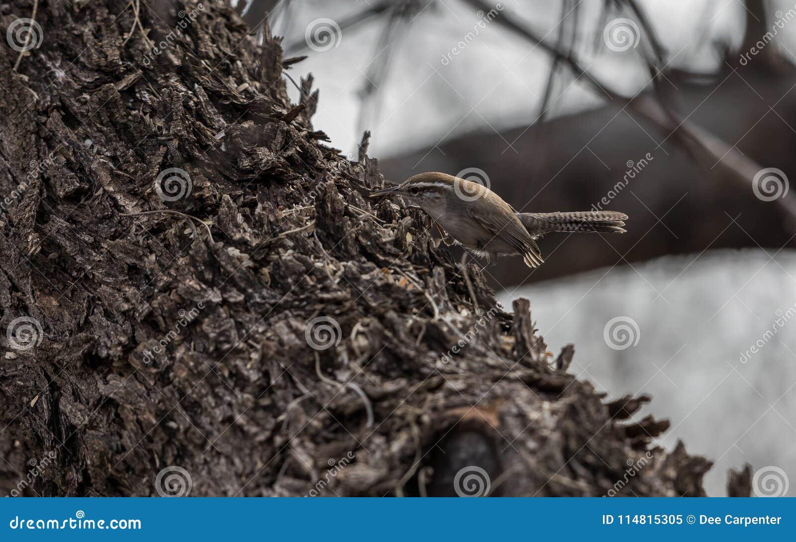 Roitelet du ` s de Bewick recherchant des insectes